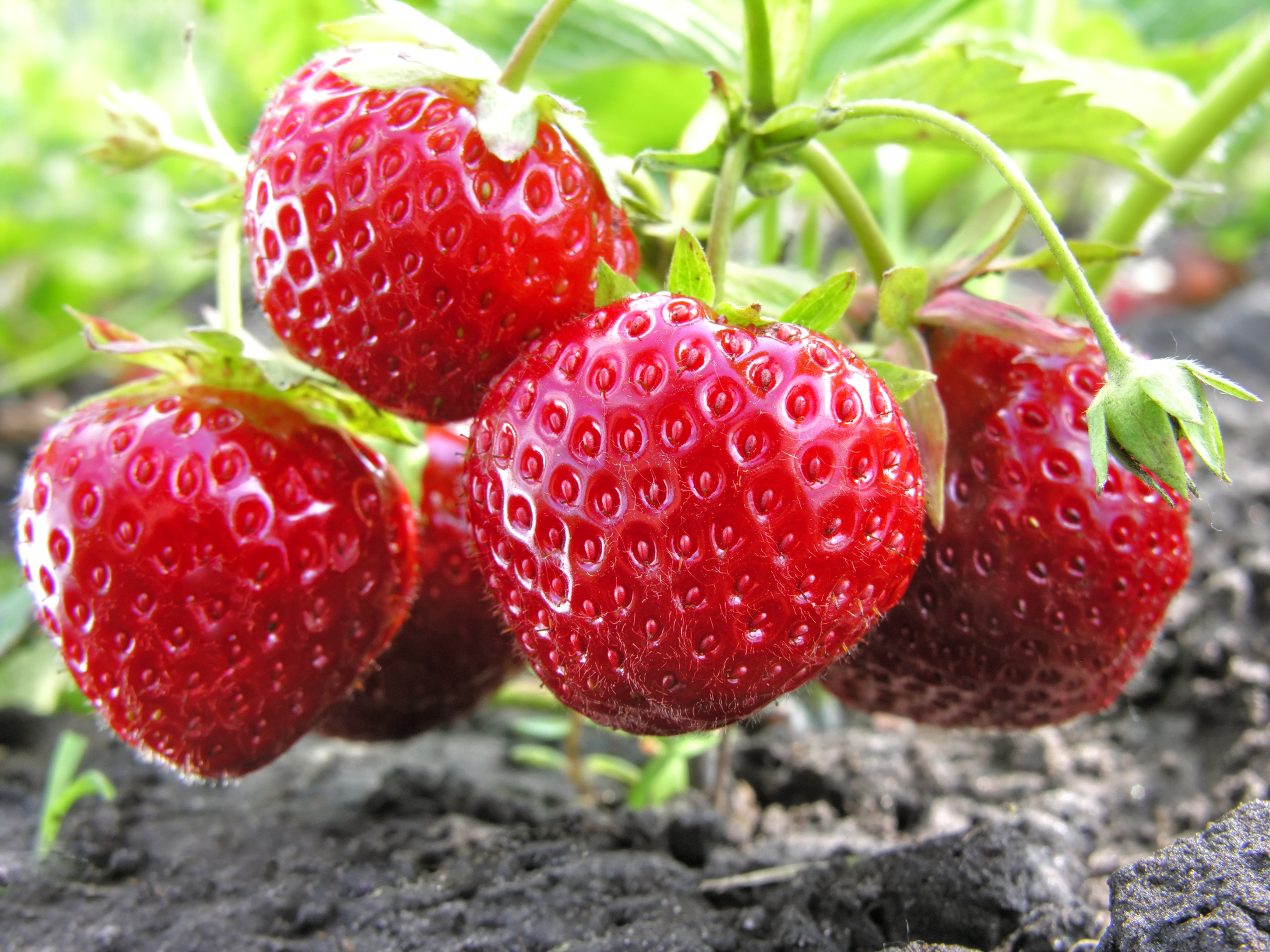 6 amazing health benefits of eating strawberries and their tops