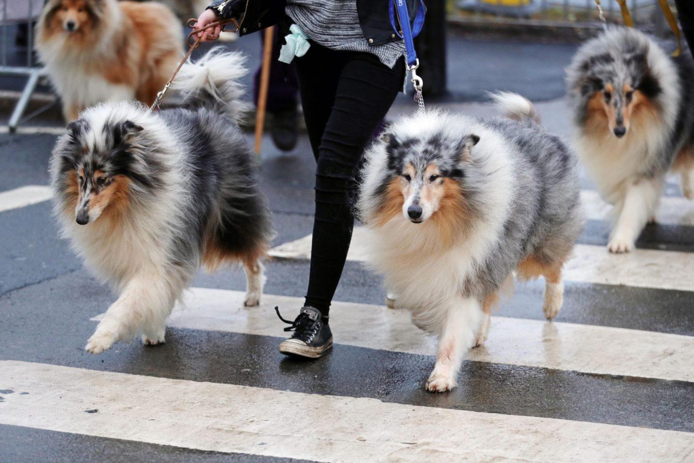 Simple Icelandic Sheepdog Canine Adorable Dog - cb20763f-1437-486a-9633-234dac13d13c-1366x911  Graphic_216745  .jpg