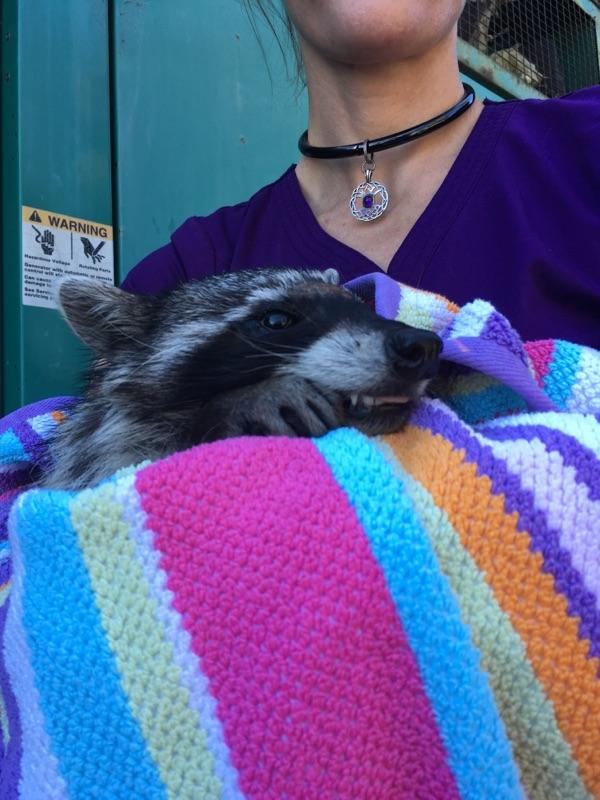 The raccoon freed