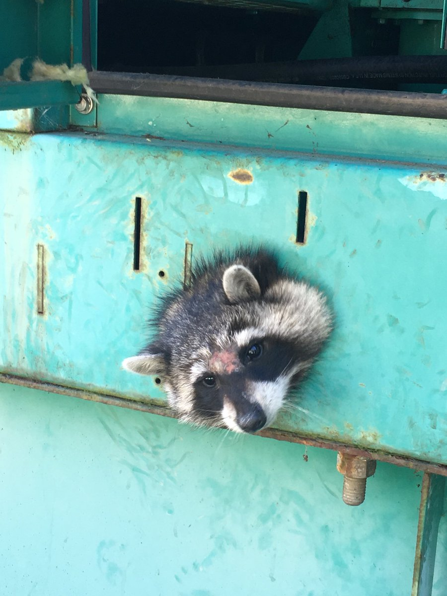 Raccoon with head stuck in hole
