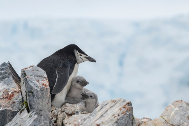 Chinstrap penguins are among the wildlife which feed on krill (Christina Aslund/Greenpeace/PA)