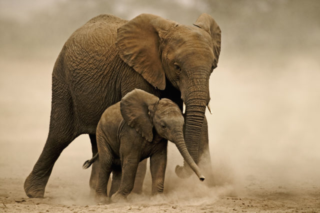 Species such as African elephants could be hit by the 'new normal' of rising temperatures and erratic rainfall (Martin Harvey/WWF/PA)