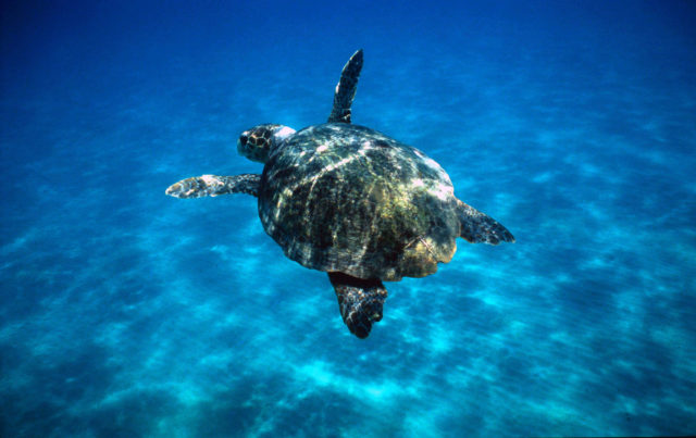 Turtles in the Mediterranean could see breeding hit by rising temperatures (Michel Gunther/WWF/PA)