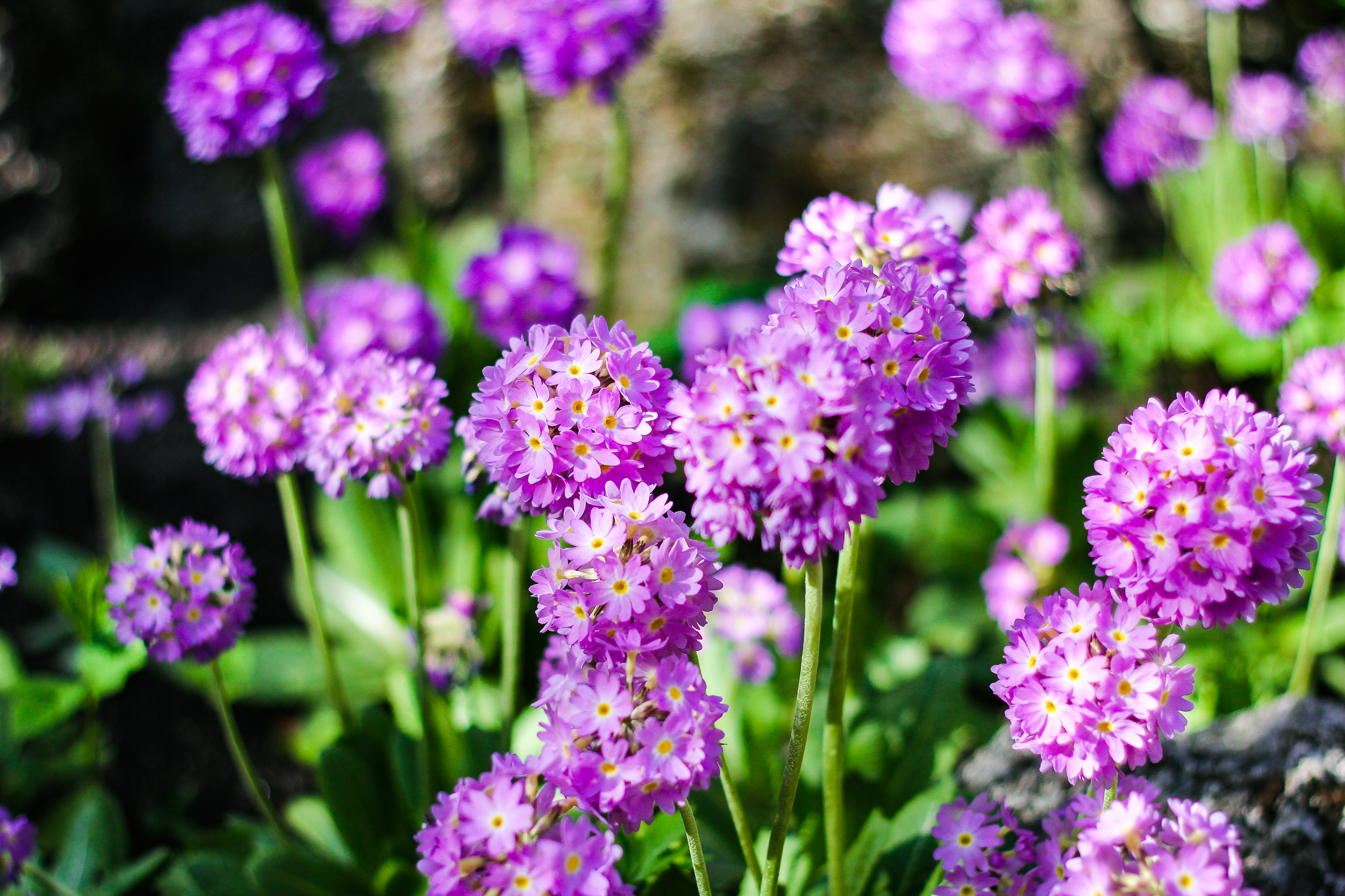 Our Guide To Growing Perfect Primulas And How To Make The Most Of
