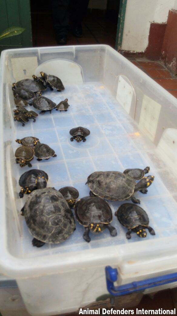 Turtles and tortoises before being released in the wild by Animal Defenders International