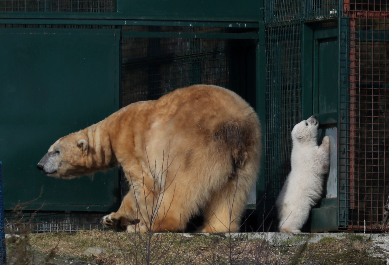 Polar bear Victoria and her unnamed and unsexed cub (Andrew Milligan/PA)