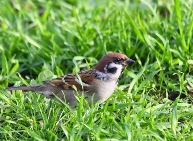 Tree sparrows have seen numbers plummet nationally (Douglas Holden/PA)
