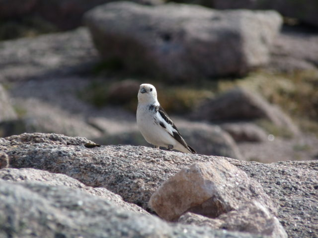 Scientists and volunteers searched some of Scotland's highest peaks for breeding snow buntings (Mark Eaton, RSPB/PA)