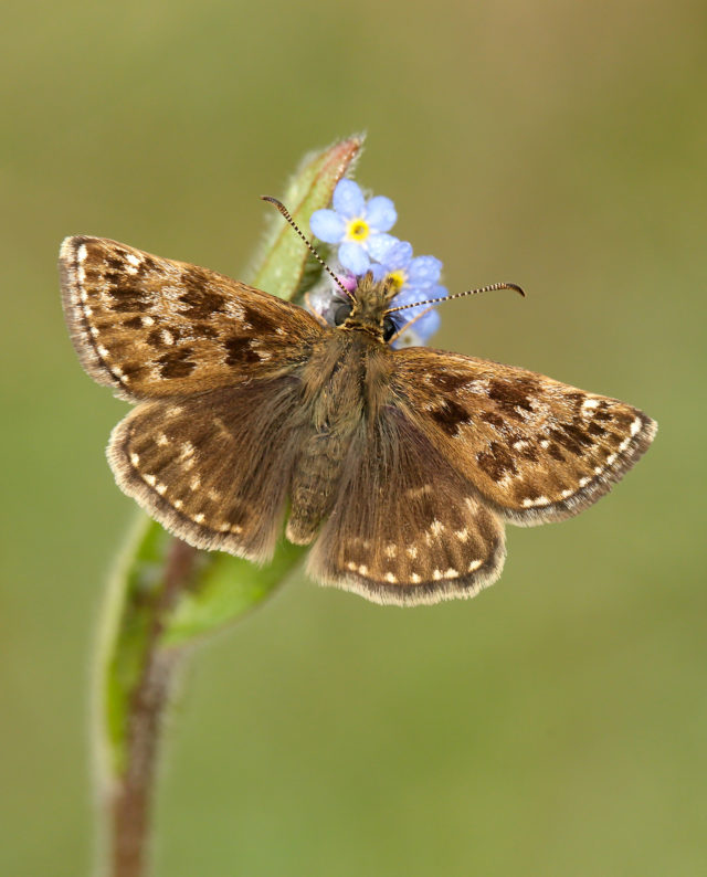 Dingy skippers saw numbers fall 22% last year (Iain H Leach, Butterfly Conservation/PA)