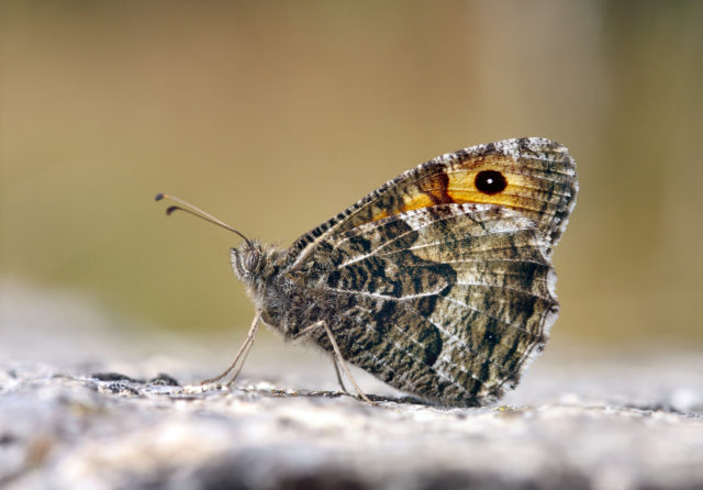 Grayling butterflies suffered their worst year on record in 2017 (Patrick Clement, Butterfly Conservation/PA)