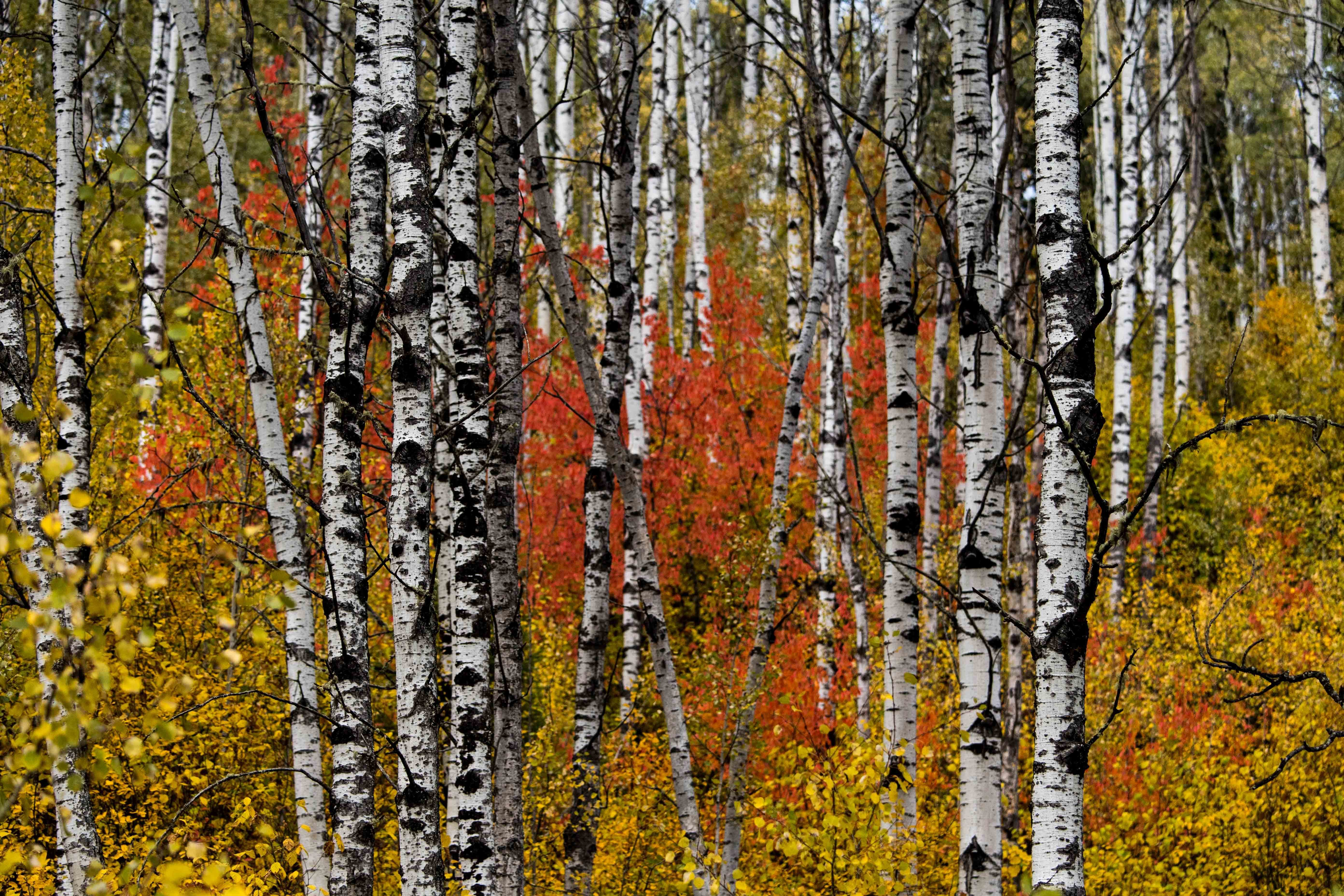 Undated Handout Photo of a birch forest in autumn colours, Cariboo Mountains, British Columbia, Canada.