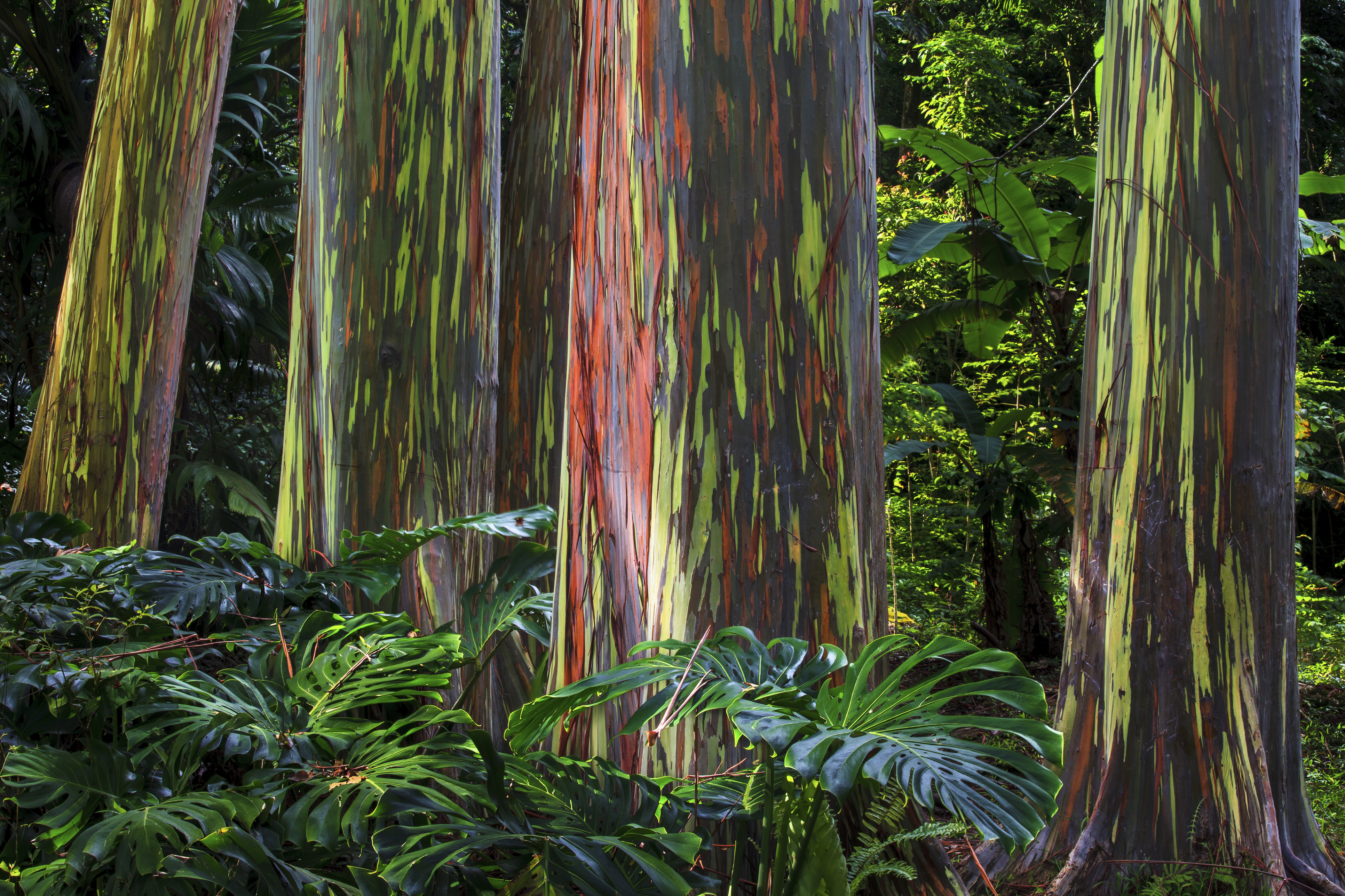 A grove of colourful Rainbow Eucalyptus trees at the Ke'anae Arboretum on Maui's famous Road to Hana, Hawaii, USA.