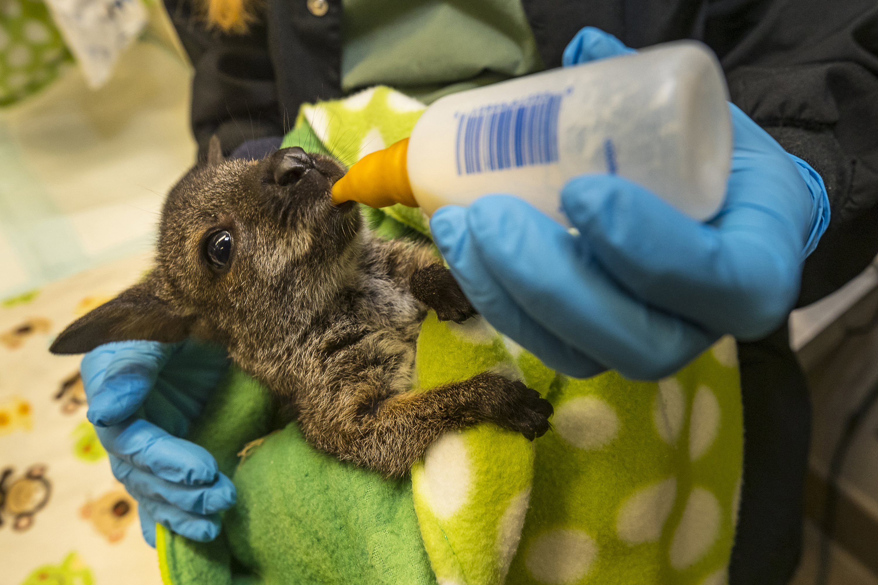 A wallaby Joey is bottle fed by a keeper