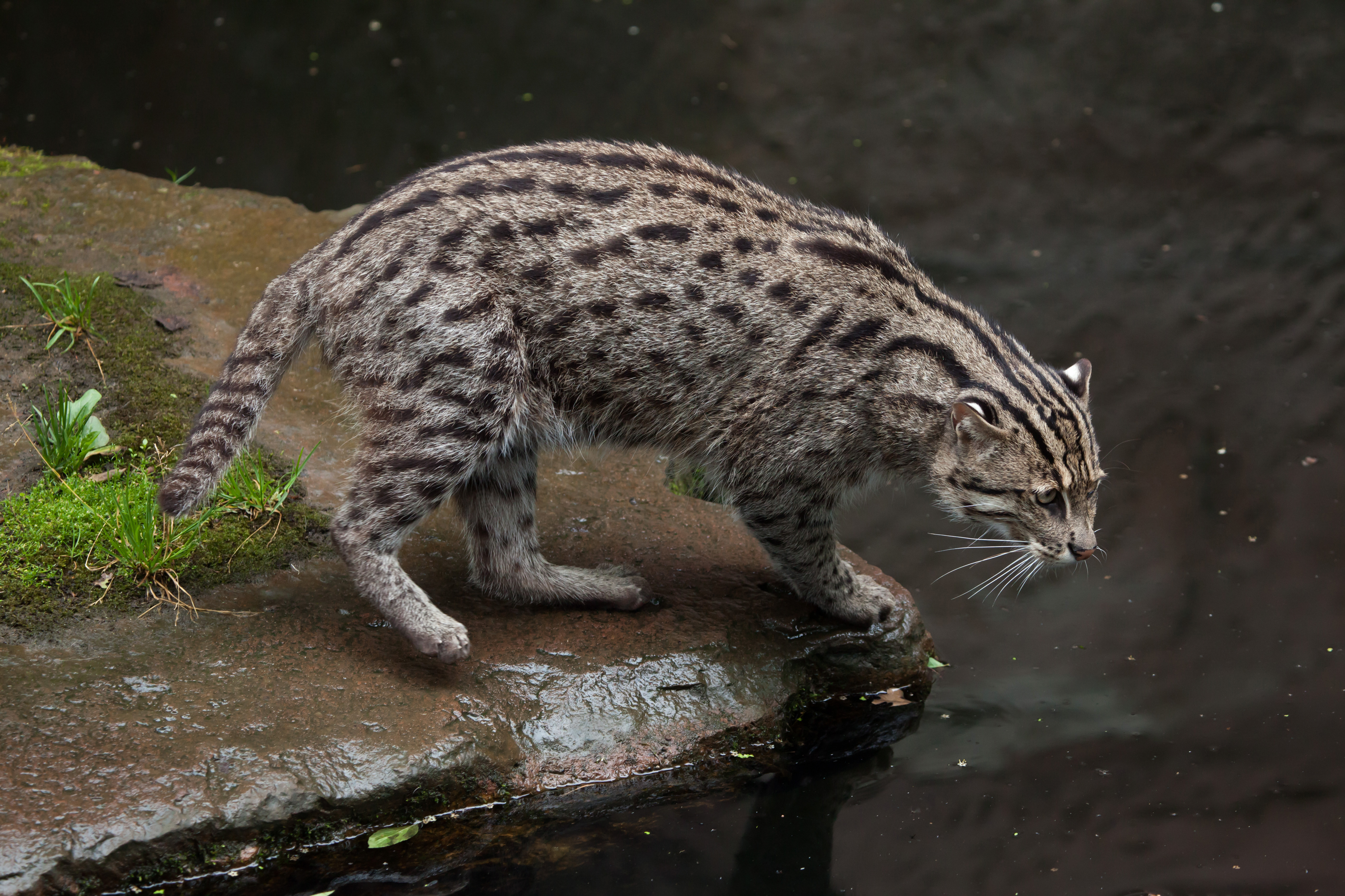 Watching this newborn fishing cat is just too much to bear for Fish cat 4