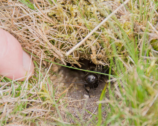 Young field crickets, or nymphs, are being encouraged from their burrows (RSPB/PA)