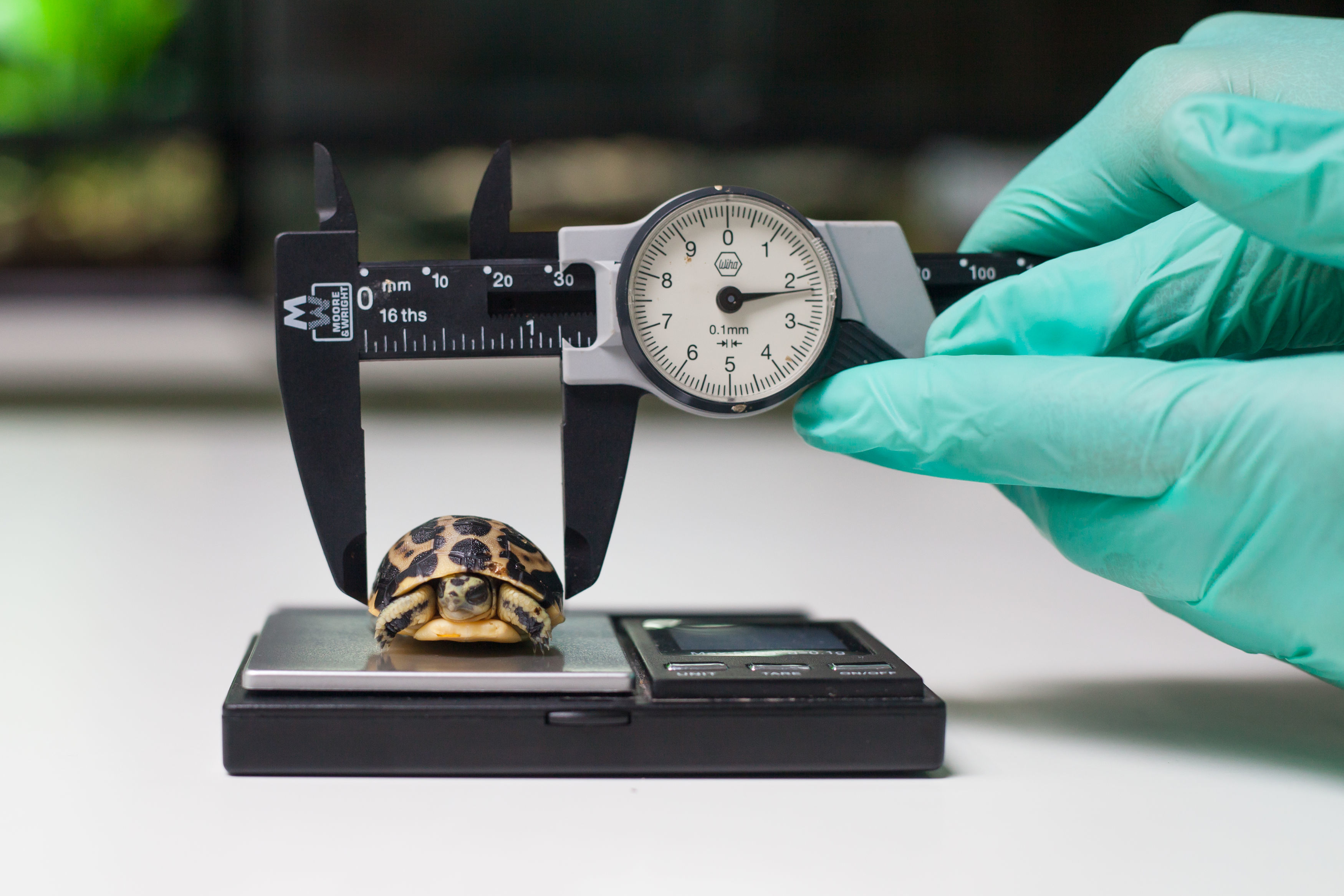 A baby spider tortoise being measured at Paignton Zoo (Paignton Zoo/PA)