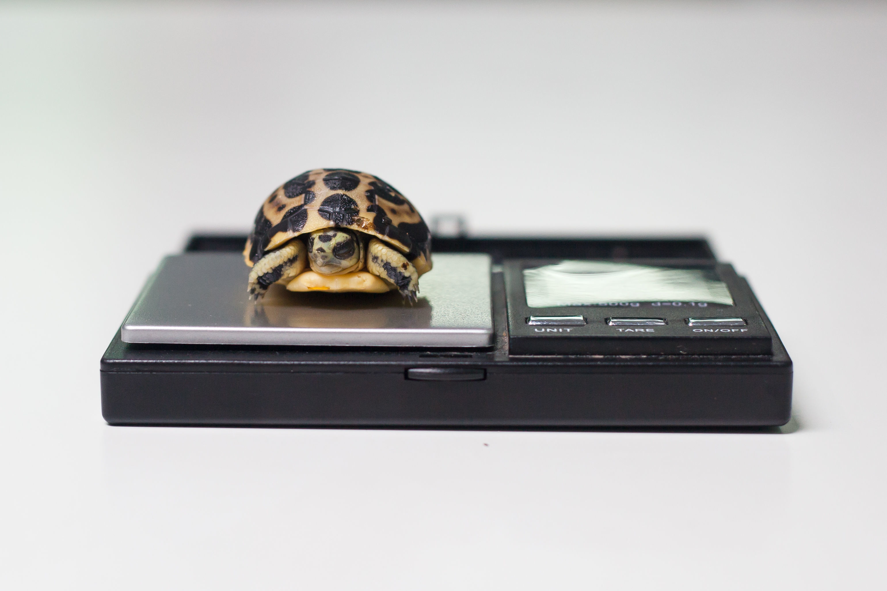 It is one of the world's smallest and rarest tortoises (Paignton Zoo/PA)