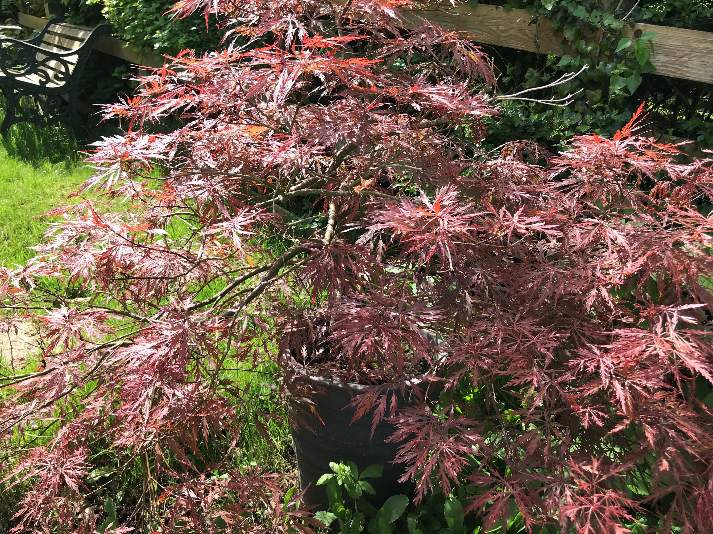 Acer 'Garnet' can remain in a pot (Hannah Stephenson/PA)