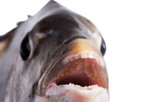 This fish has human teeth and it's freaking people out - The
