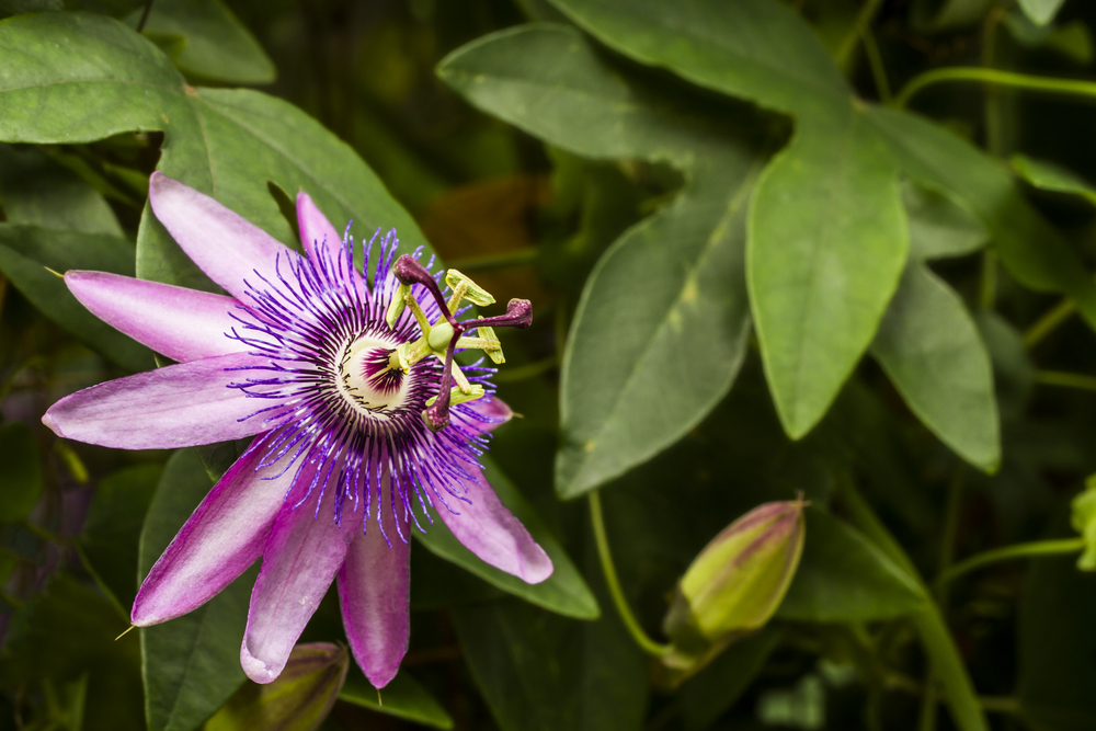 Passion flower (Shutterstock/PA)