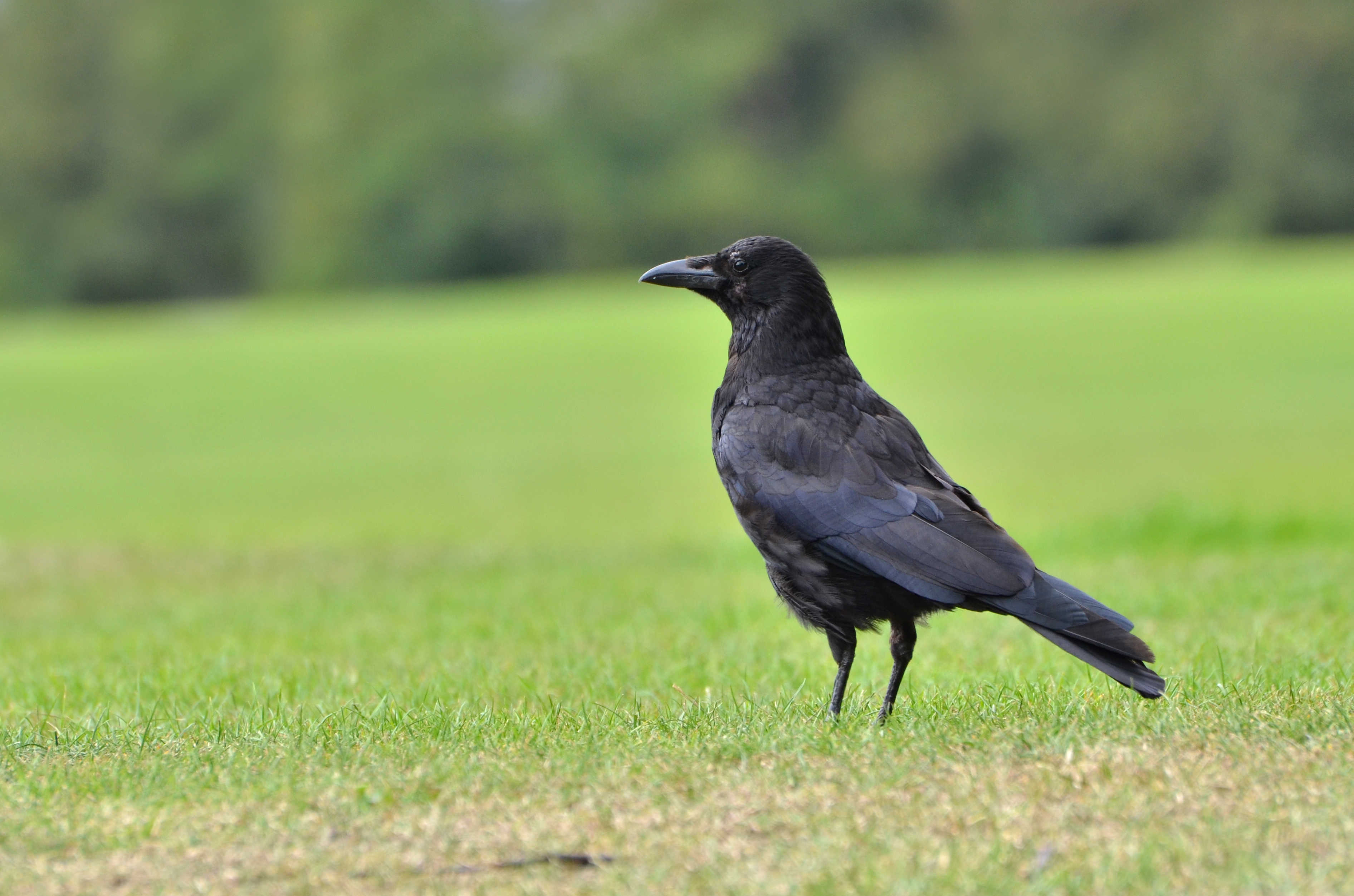 A stock image of a crow