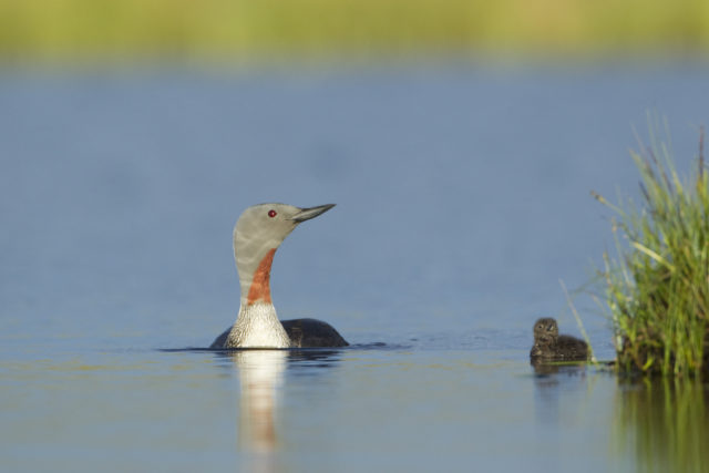 Red-throated divers have returned since the eradication of American mink (SNH/PA)
