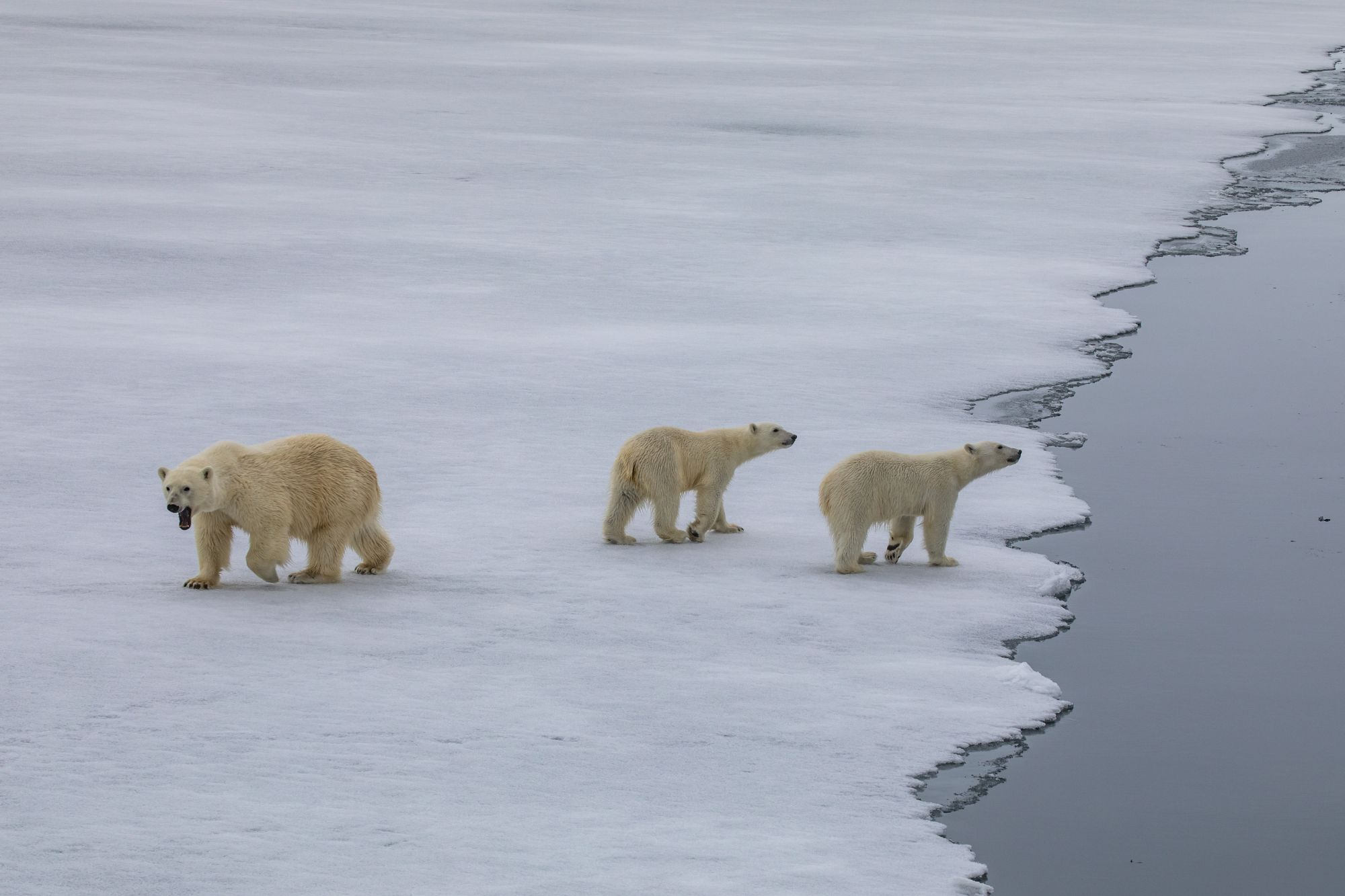 A mother and two cubs approach the Vavilov (Paul Goldstein/PA)
