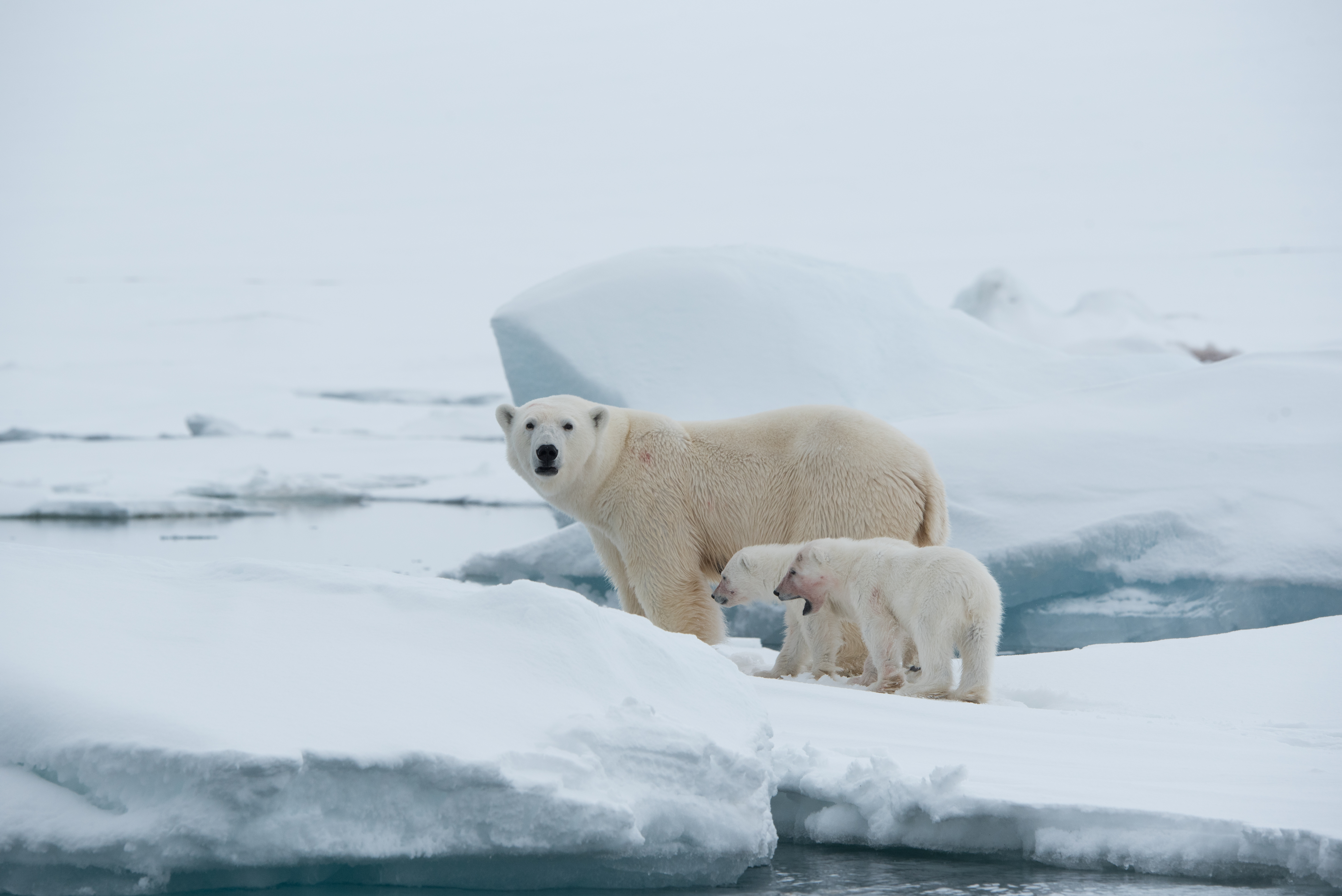 A mother and two cubs at Torrelnesset (Sarah Marshall/PA)