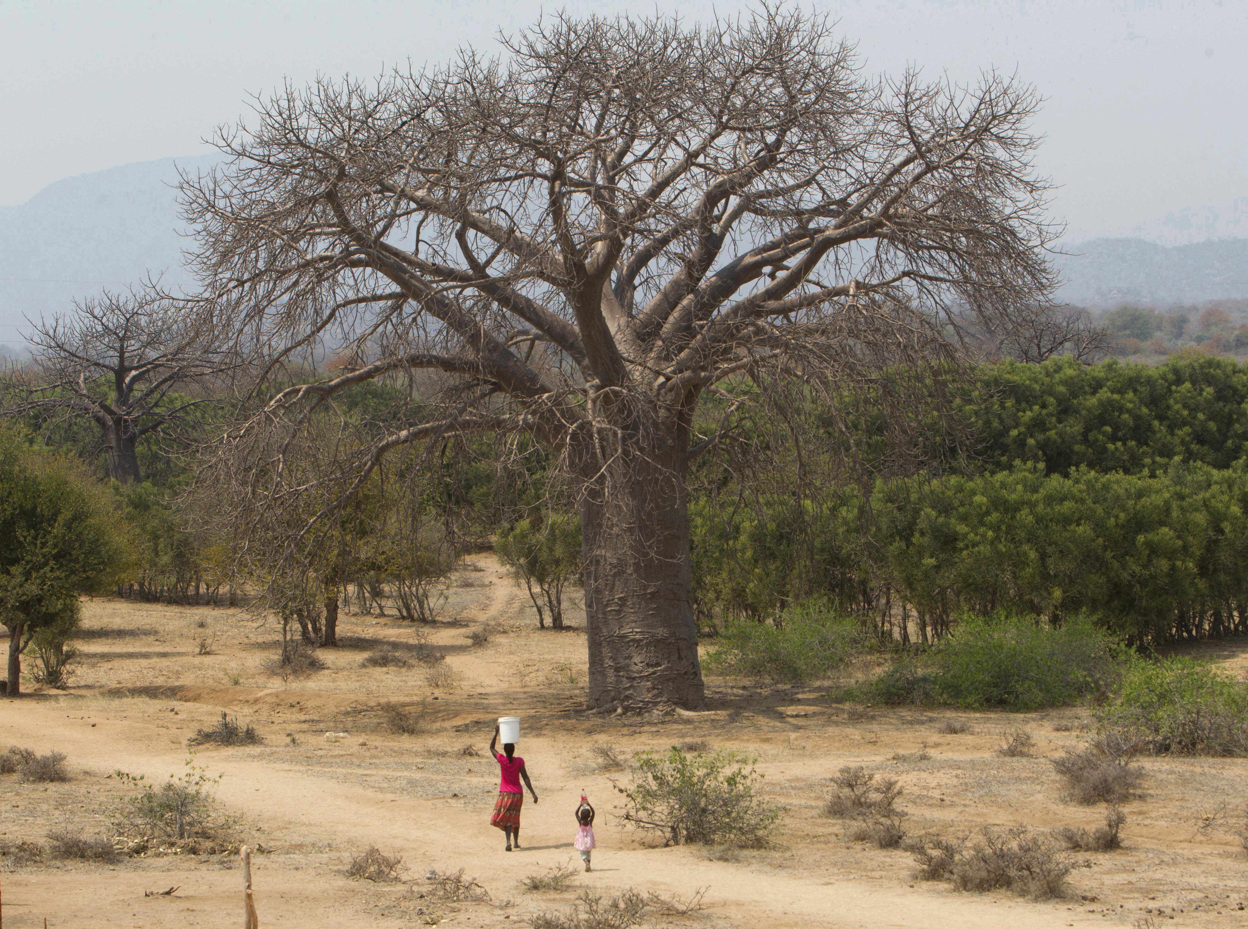 A woman and child walk past a giant baobab tree in Chimanimani