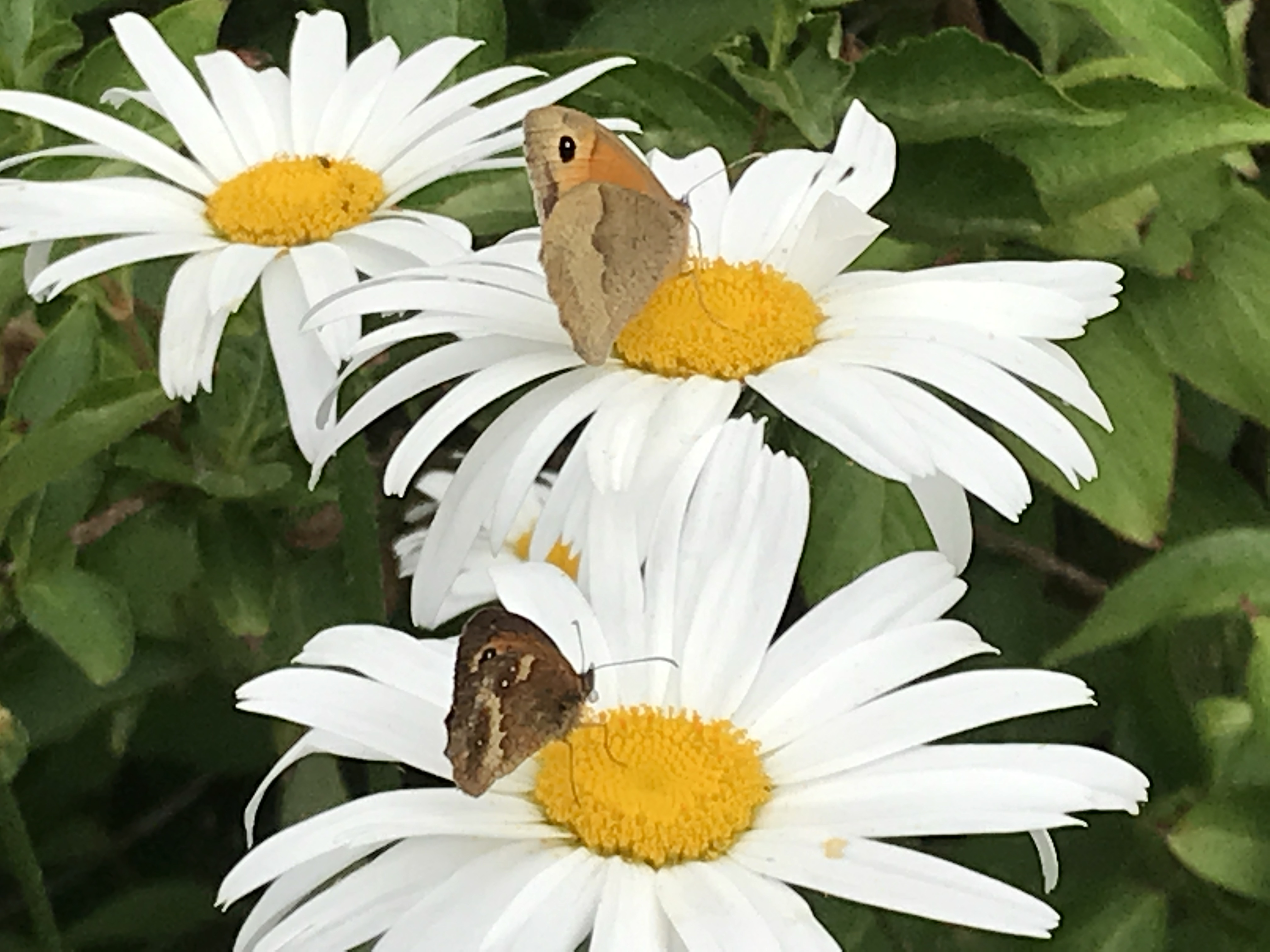 Are your late summer borders already out in force 8 plants which michaelmas daisies hannah stephensonpa izmirmasajfo
