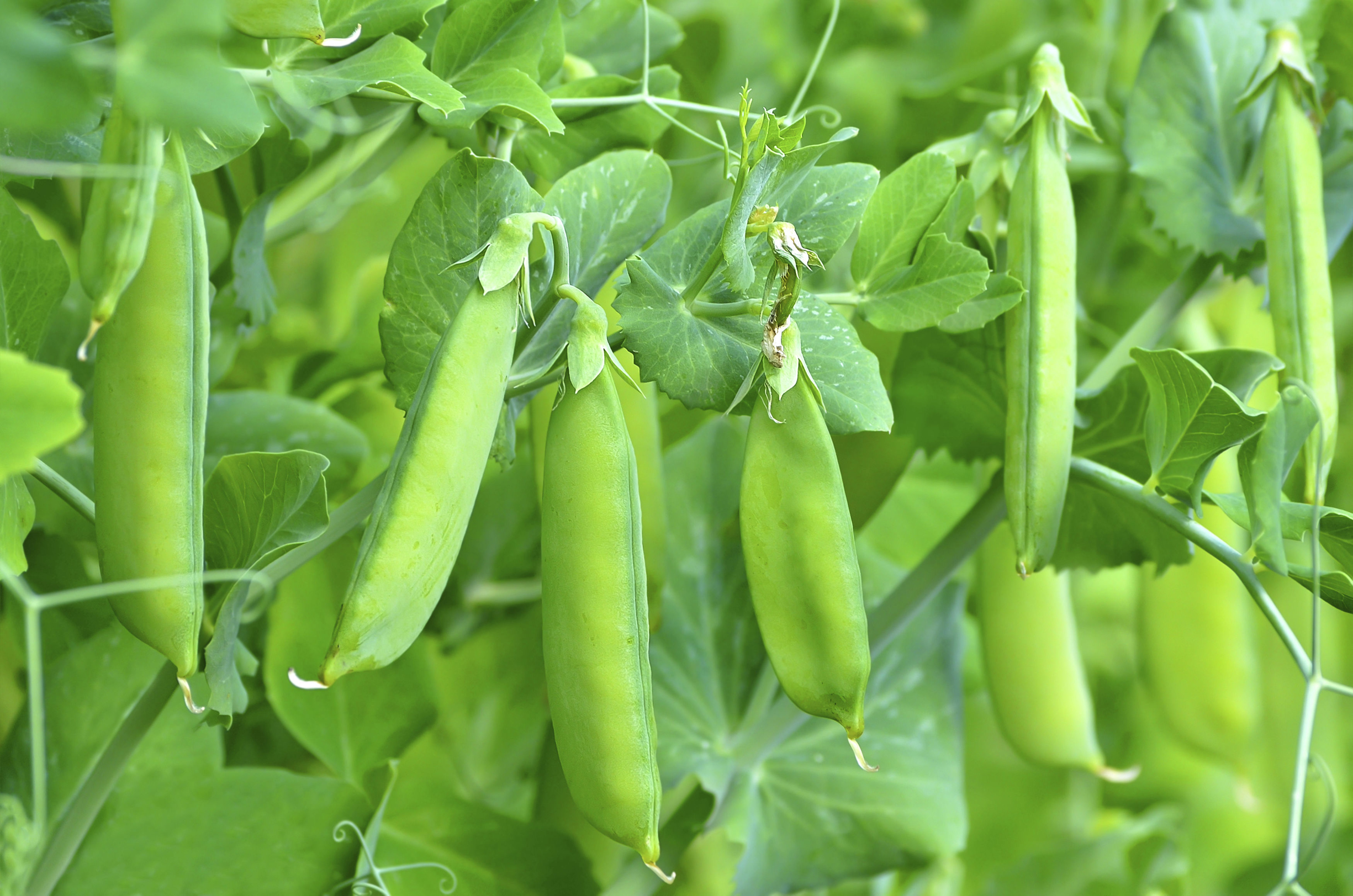 You may get a second crop of peas if you cut the first one back (Thinkstock/PA)