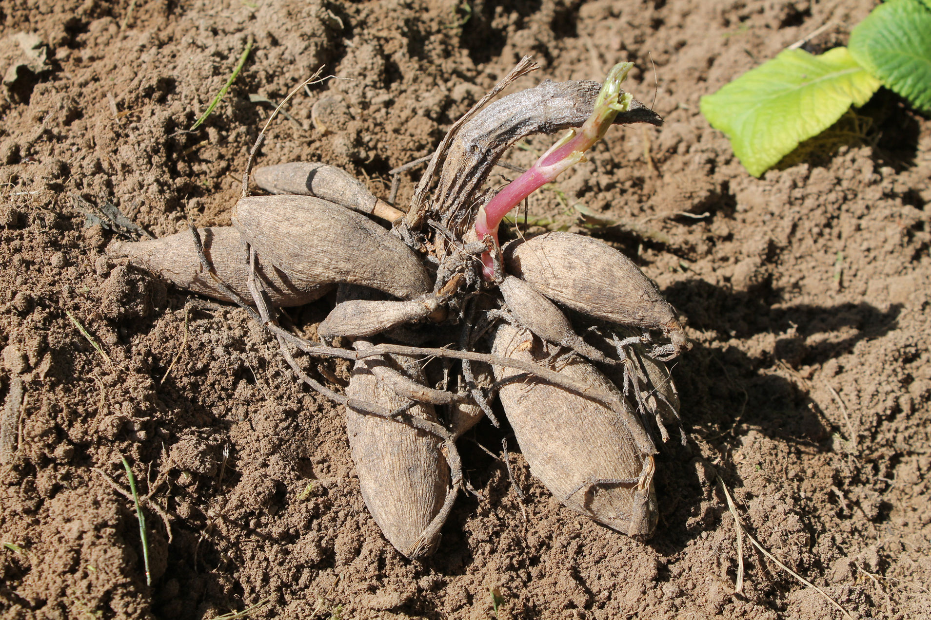 Dahlia tubers before planting (Thinkstock/PA)
