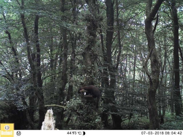 Camera footage has confirmed the presence of the pine marten in Kielder Water and Forest Park (Forestry Commission/PA)
