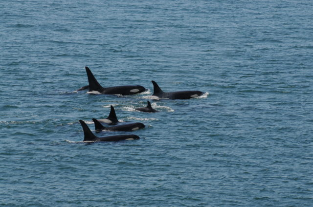 Killer whales are already known to go through menopause (Kenneth Balcomb/ Center for Whale Research/ PA)