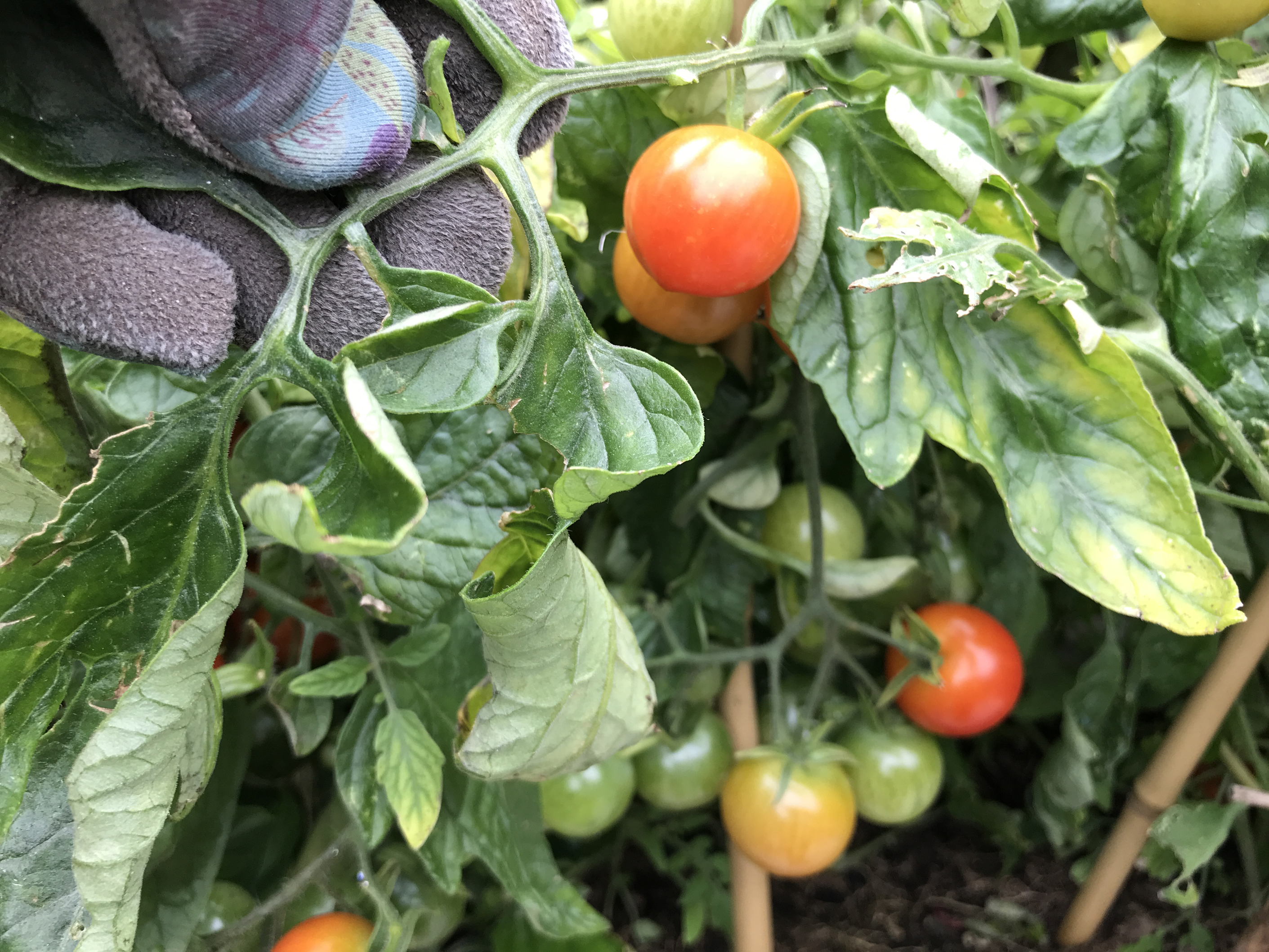 how to ripen your tomatoes before it s too late irish examiner. Black Bedroom Furniture Sets. Home Design Ideas