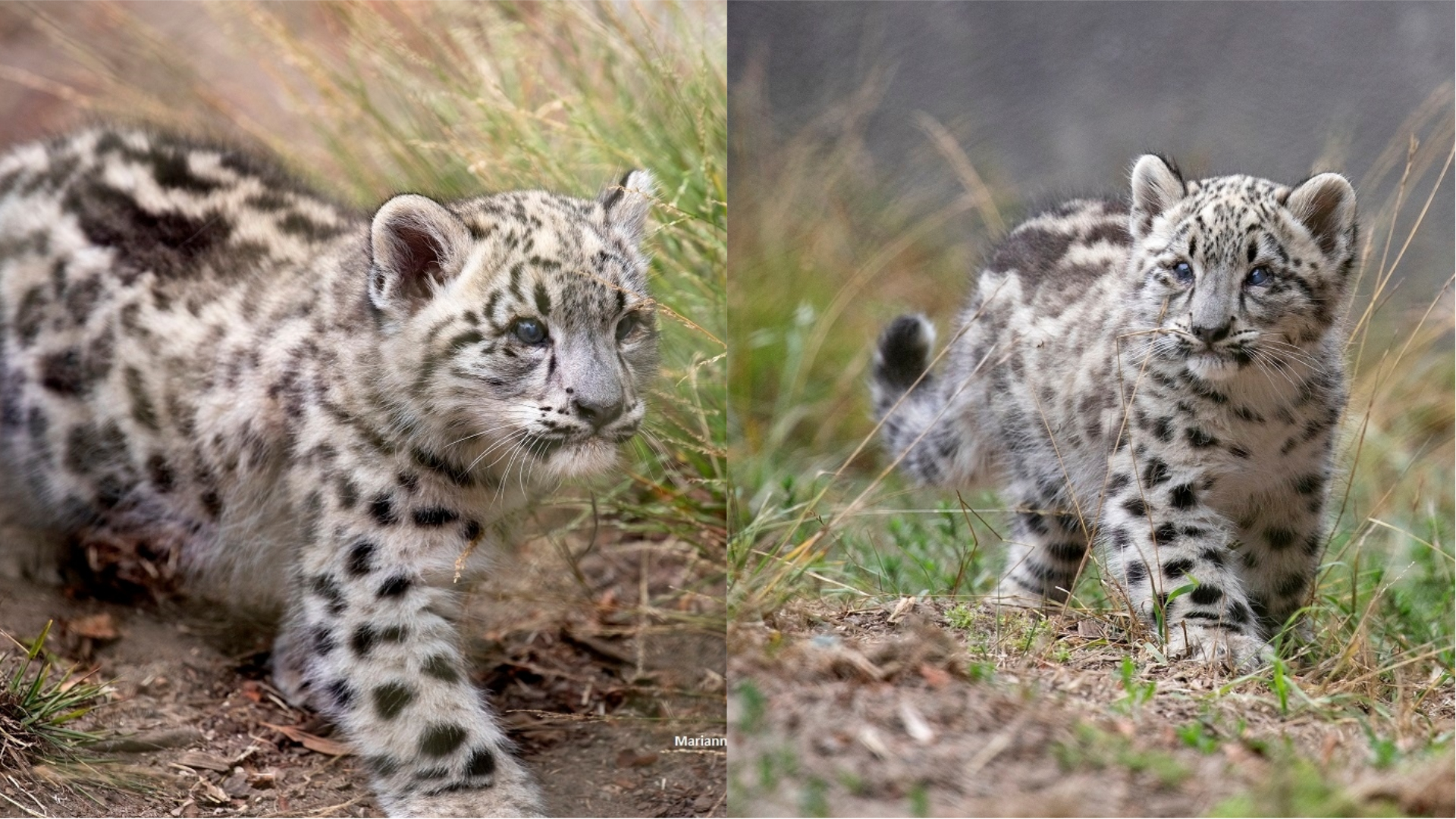 Two Snow Leopard Cubs At San Francisco Zoo And Gardens