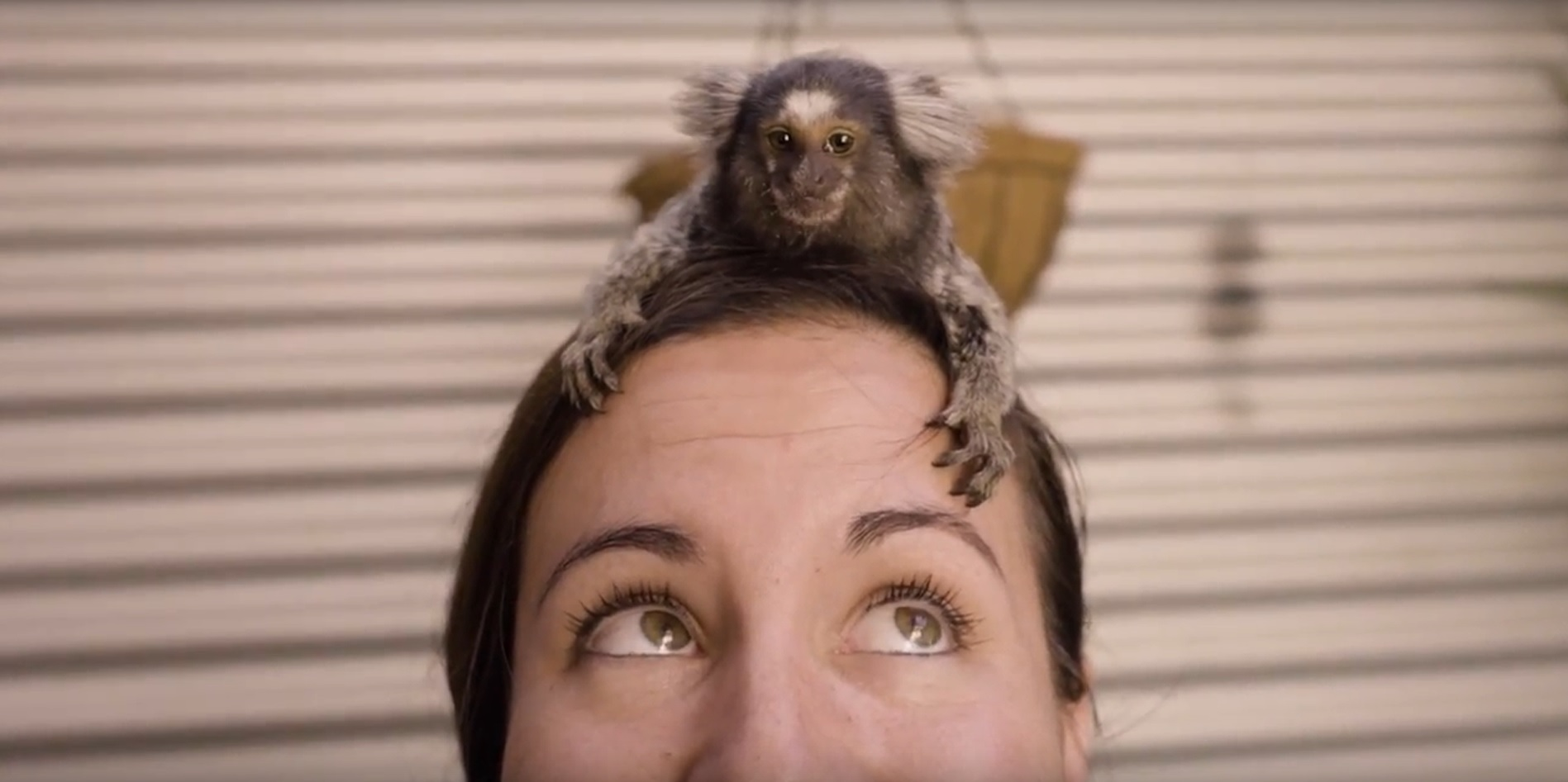 Miguel, a common marmoset, climbs on top of a zoo keeper's head