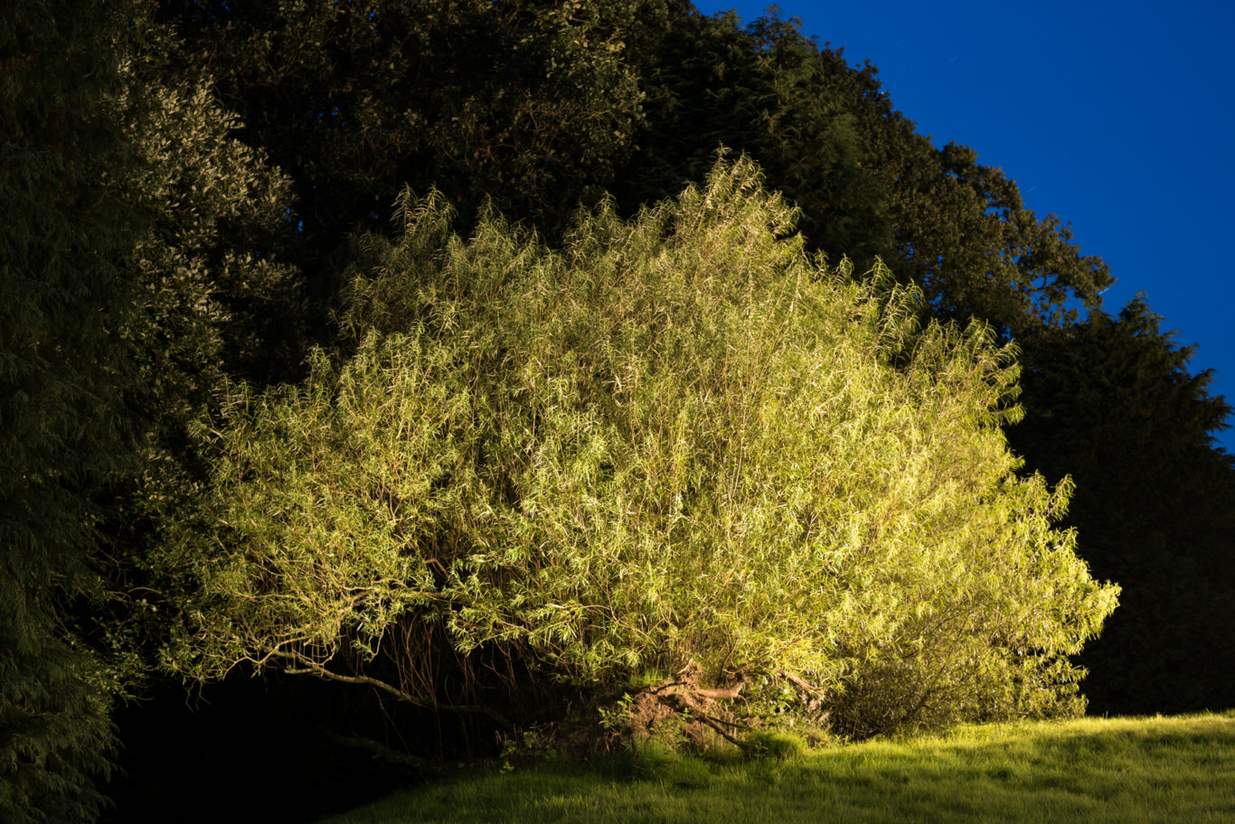 Napoleon's tree