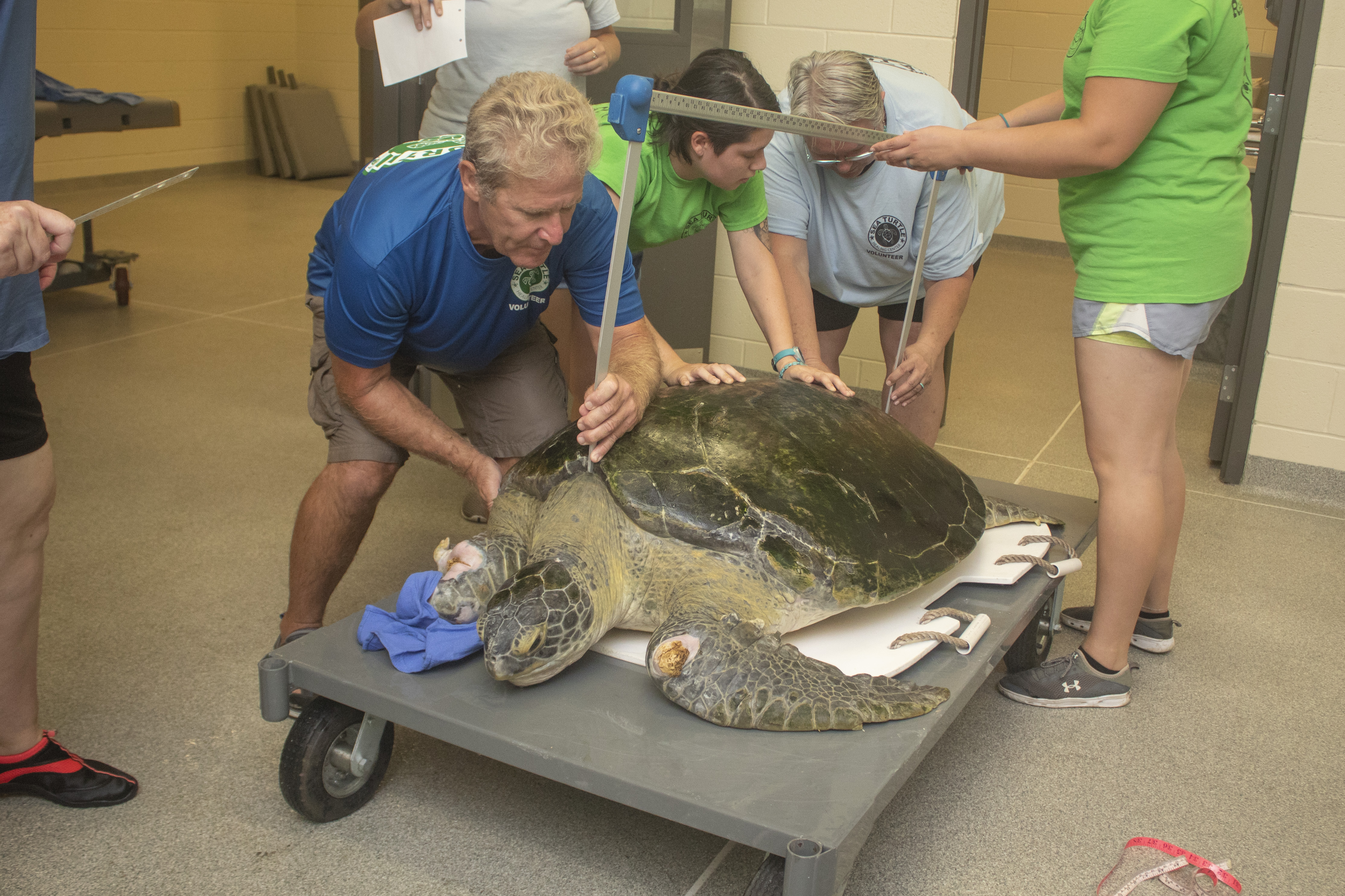 Guacamole, a green sea turtle, is measured