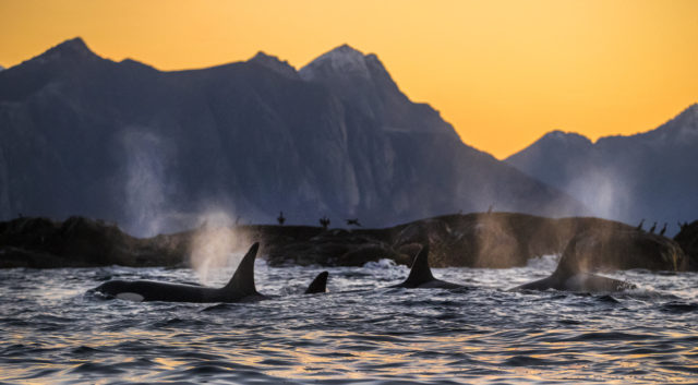 Killer whales are are among the mammals with the highest level of PCBs (Audun Rikardsen/ PA)
