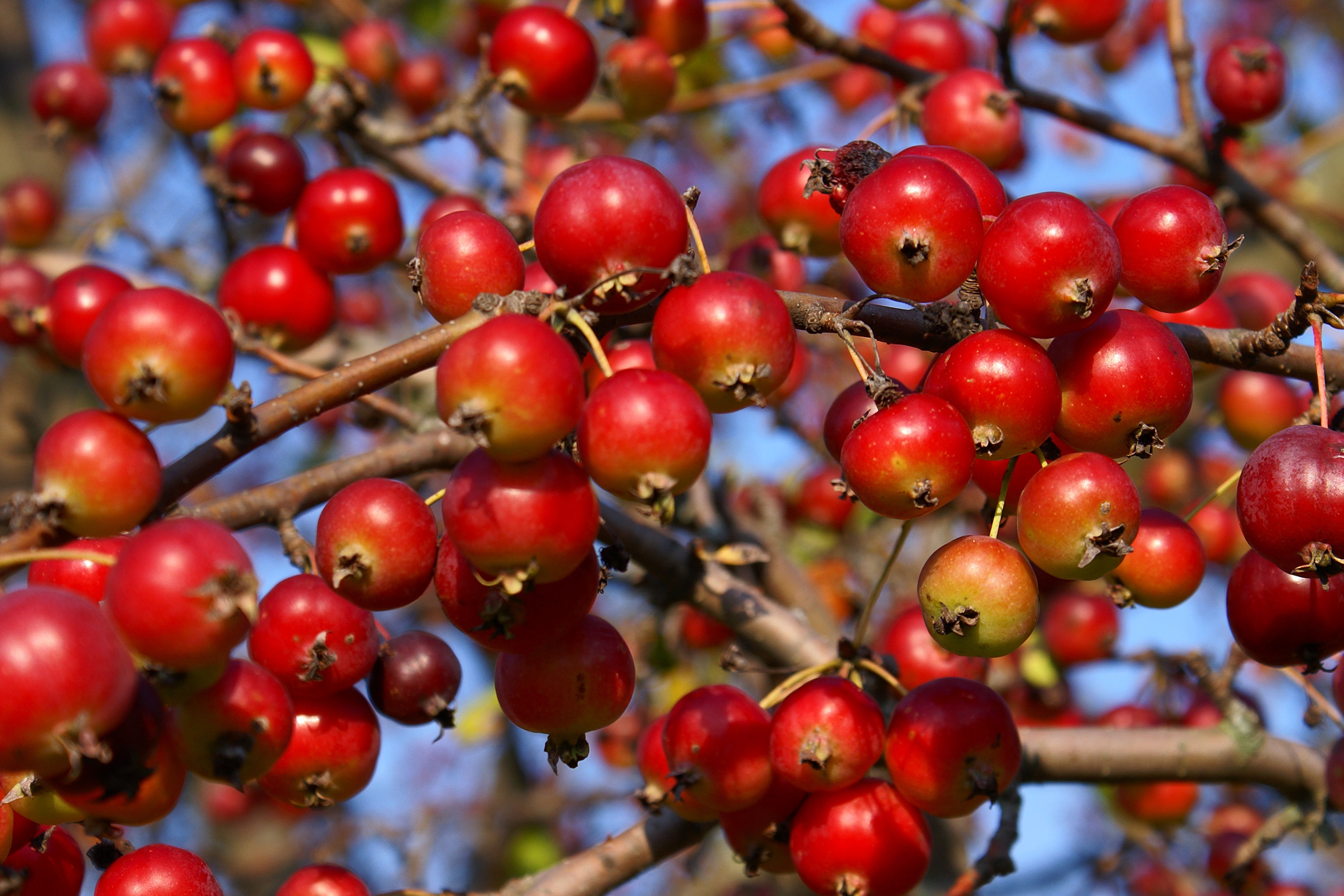 Make jelly with crab apples (Thinkstock/PA)