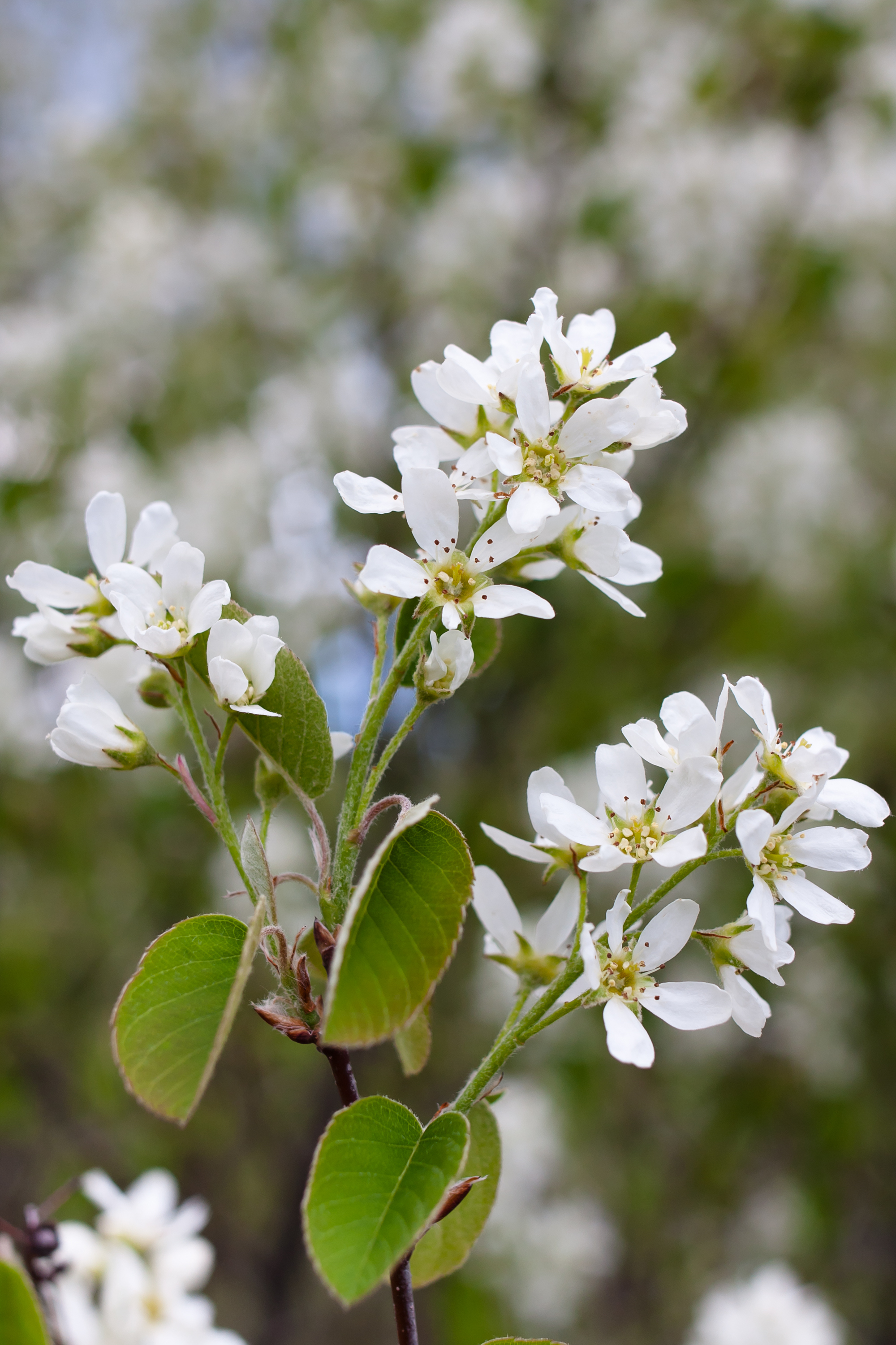 Amalanchiers bear clouds of white flowers (Thinkstock/PA)