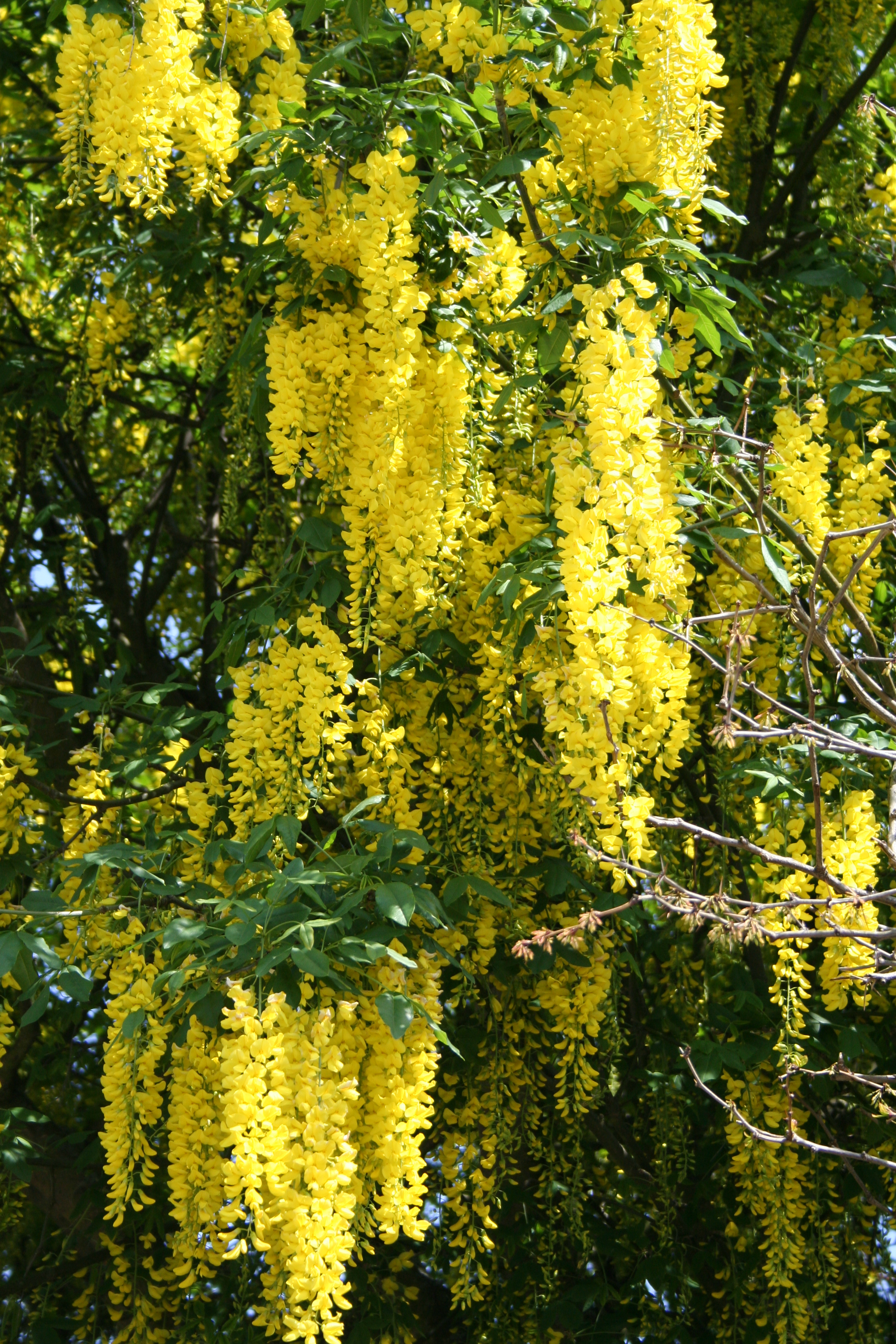 The zingy yellow chains of blooms of Laburnum x watereri'Vossii' in late spring and early summer (Thinkstock/PA)