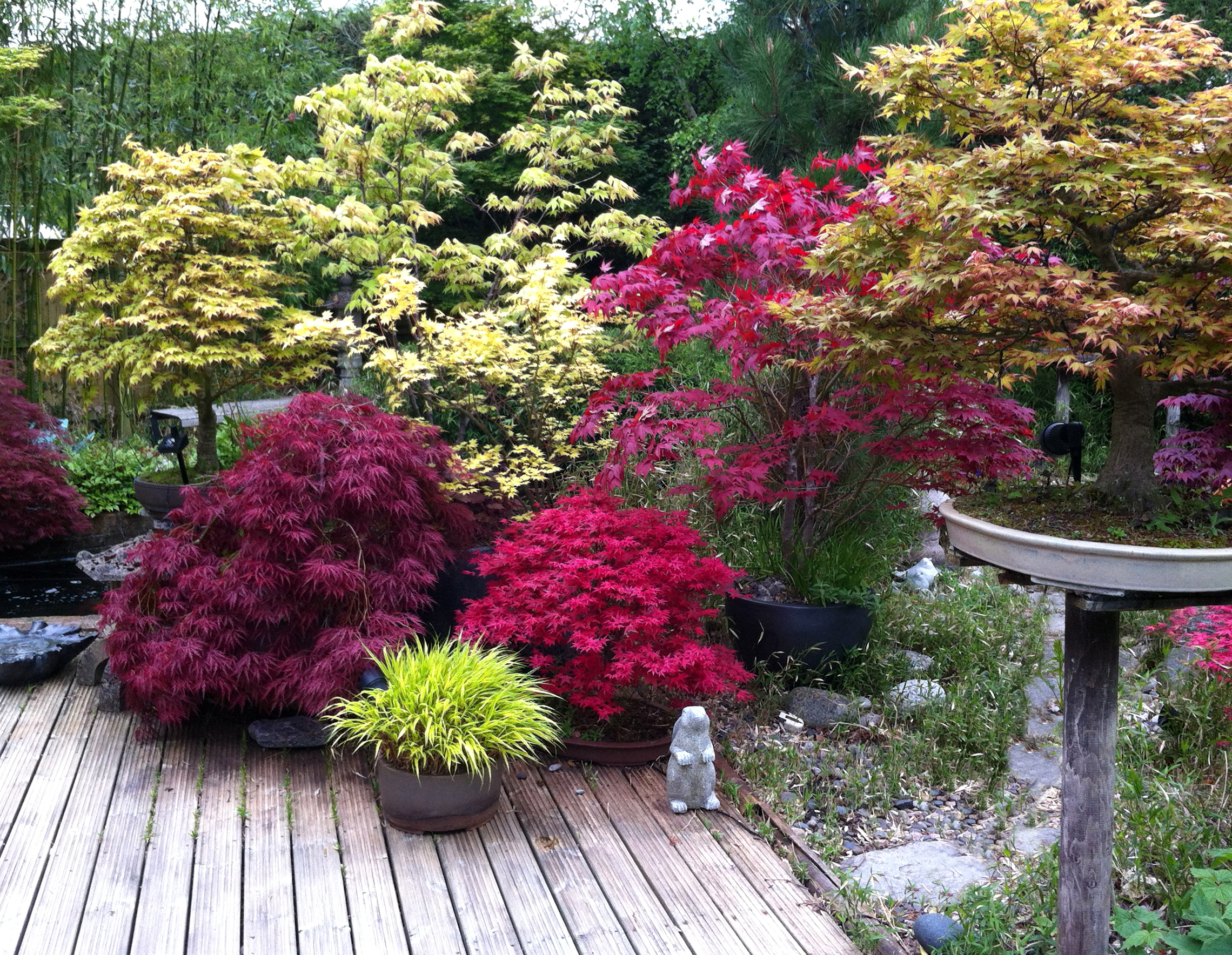 Japanese maples are ideal for planting in pots (Thinkstock/PA)