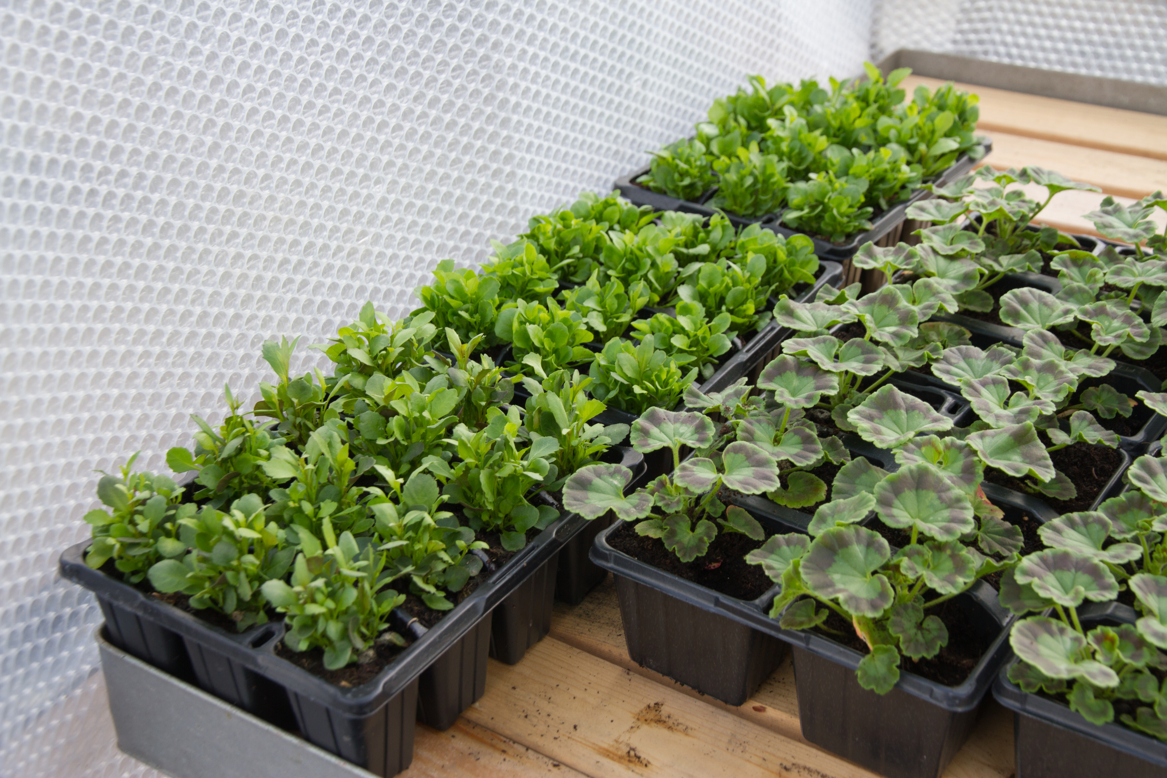 Using bubble wrap in the greenhouse (Thinkstock/PA)