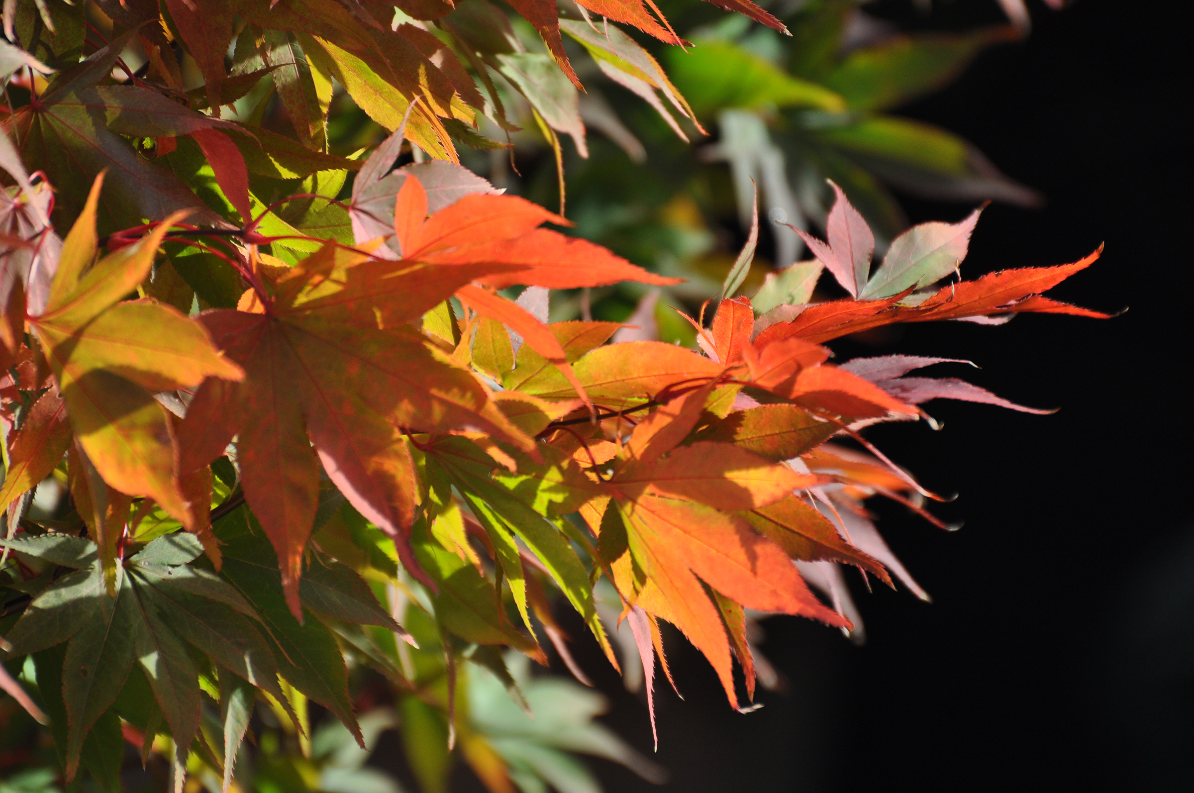 Use acers to add colour (Simon Bourne/PA)