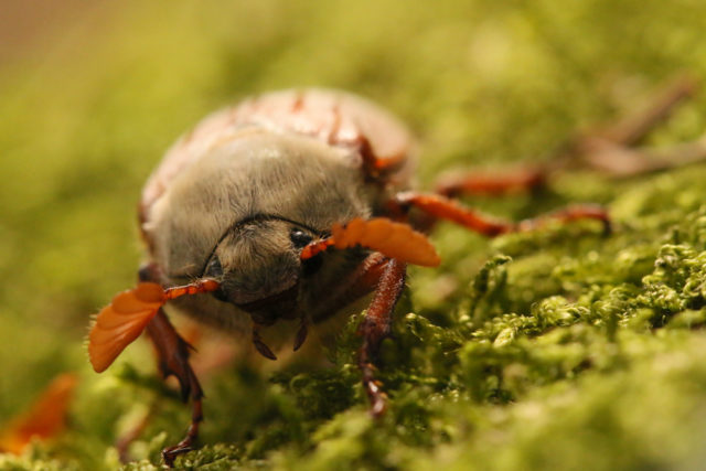 Lucy Farrell, aged 9, won one of the junior categories for her close up of a cockchafer (Lucy Farrell/BWPA/PA)