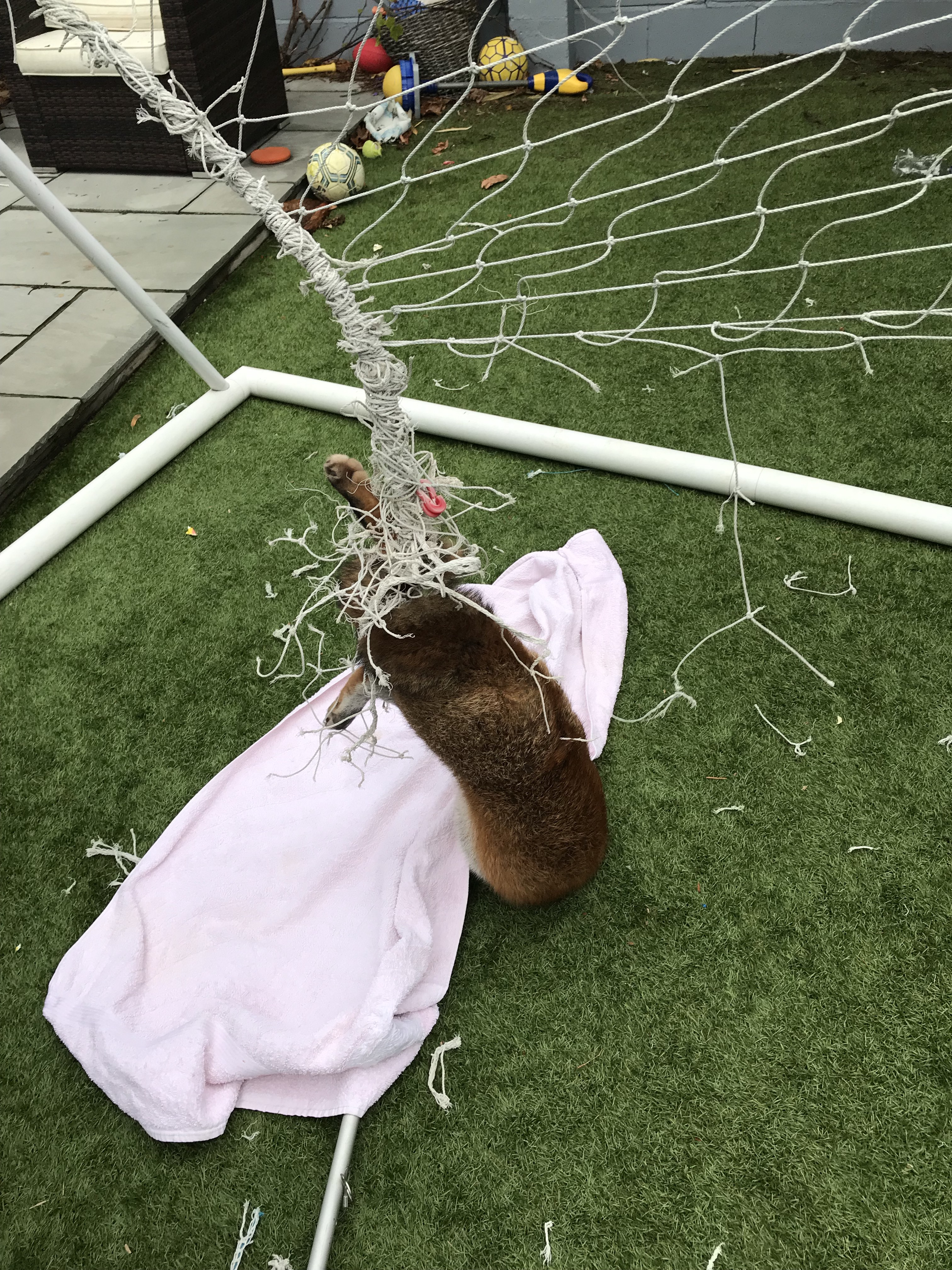 The RSPCA plae a towel over the fox to calm it while cutting away the netting it was trapped in