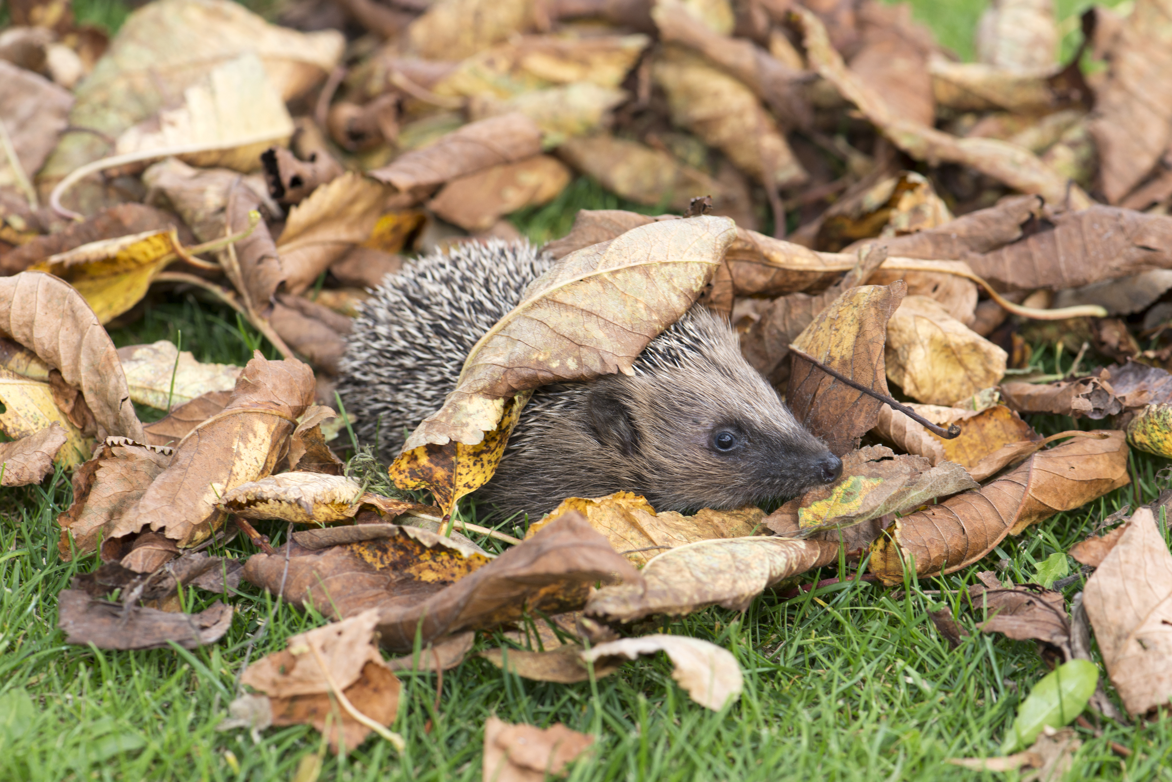 A hedgehog takes refuge under leaves (Thinkstock/PA)