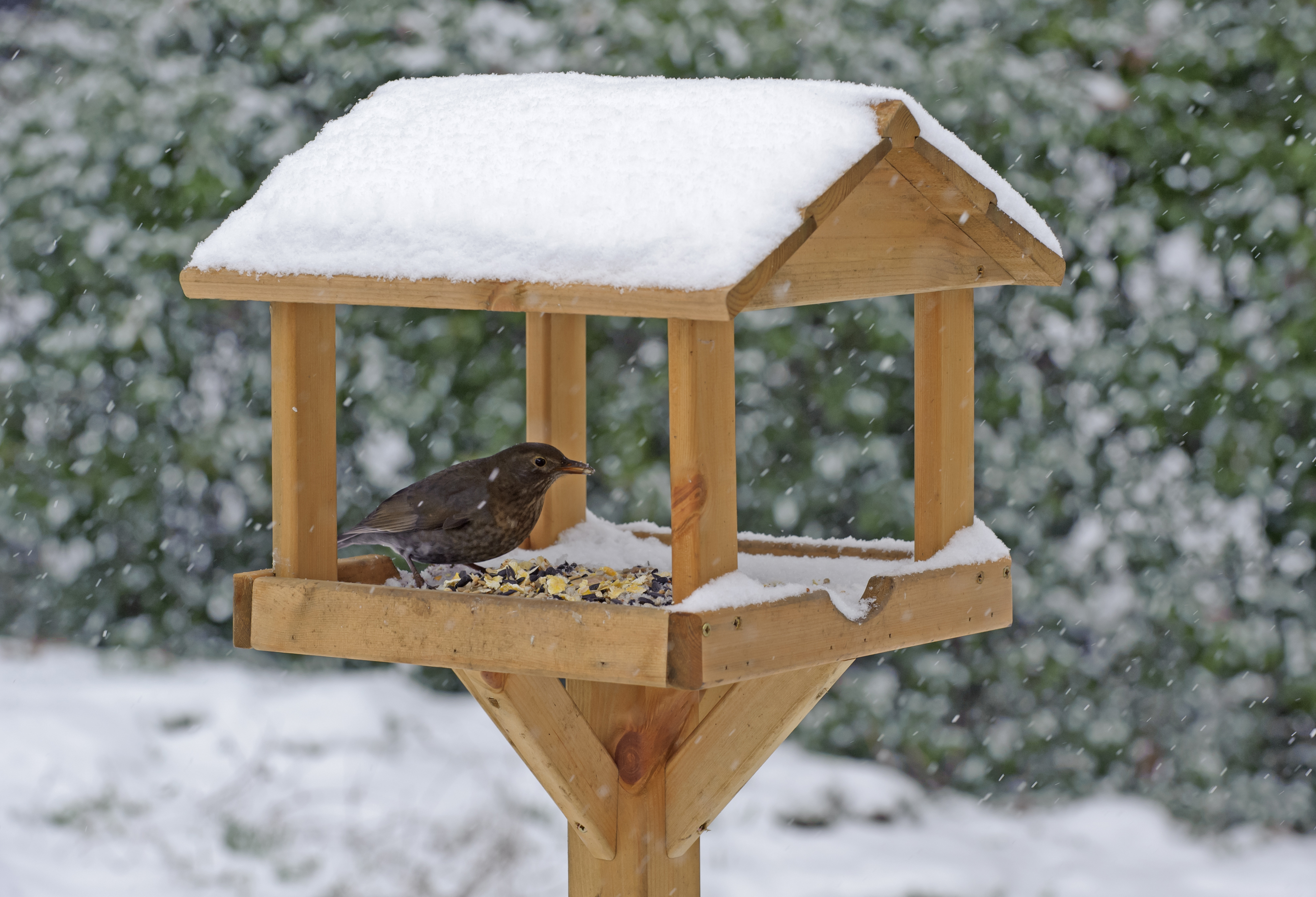 A blackbird feeds in the depths of winter (rspb-images.com/PA)